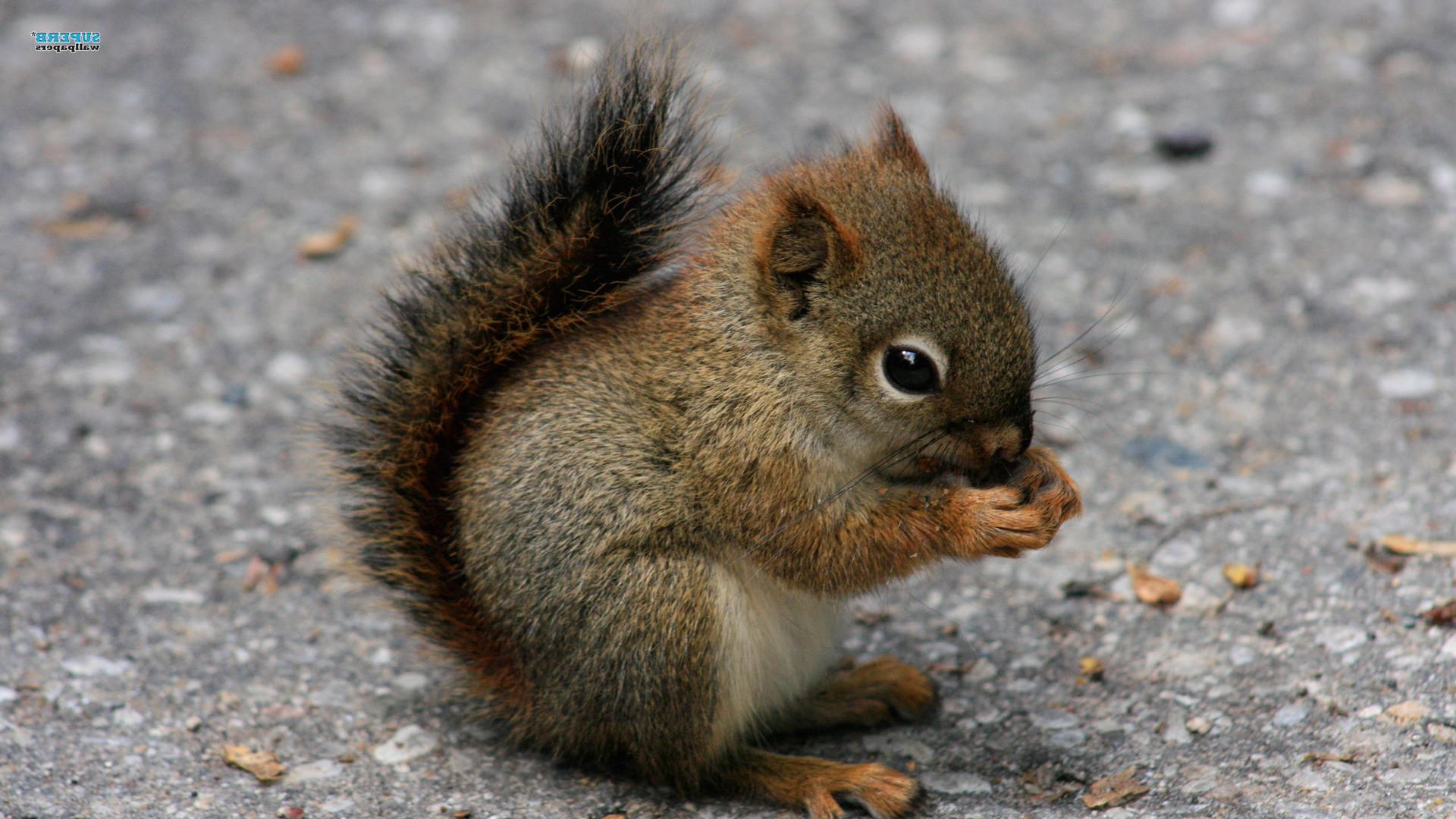 baby animals | Home › Animals › Cute Squirrel Baby Animal HD Wallpaper For .