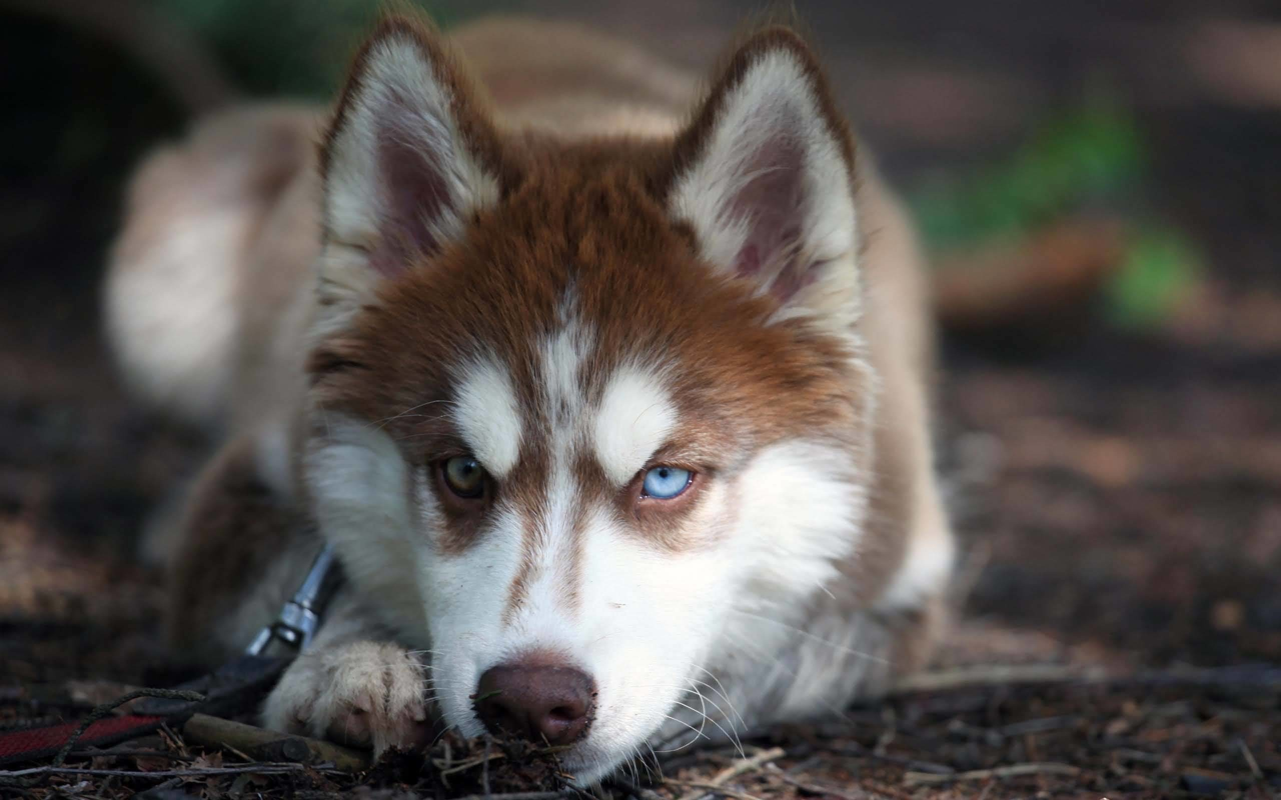 Simple Harsh Look Of The Wolf Being Lazy Full HD Wallpaper