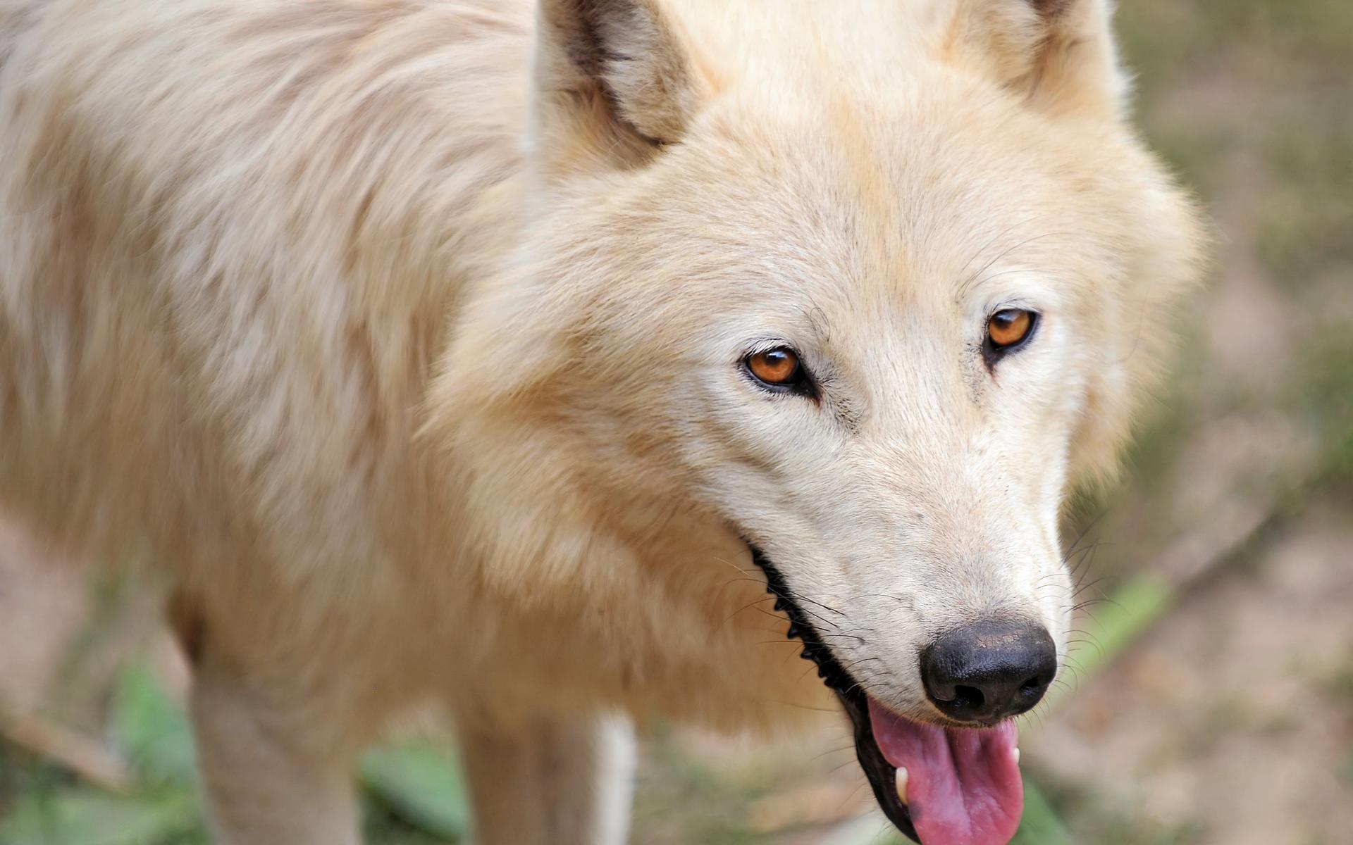 baby arctic wolf pics download