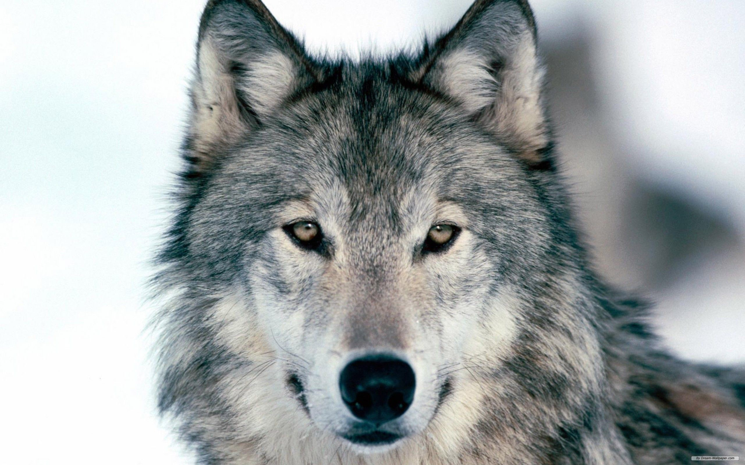 free-wolf-wallpapers-5