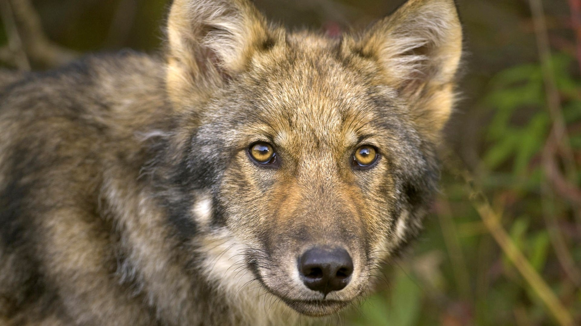Wolf Up Close Background