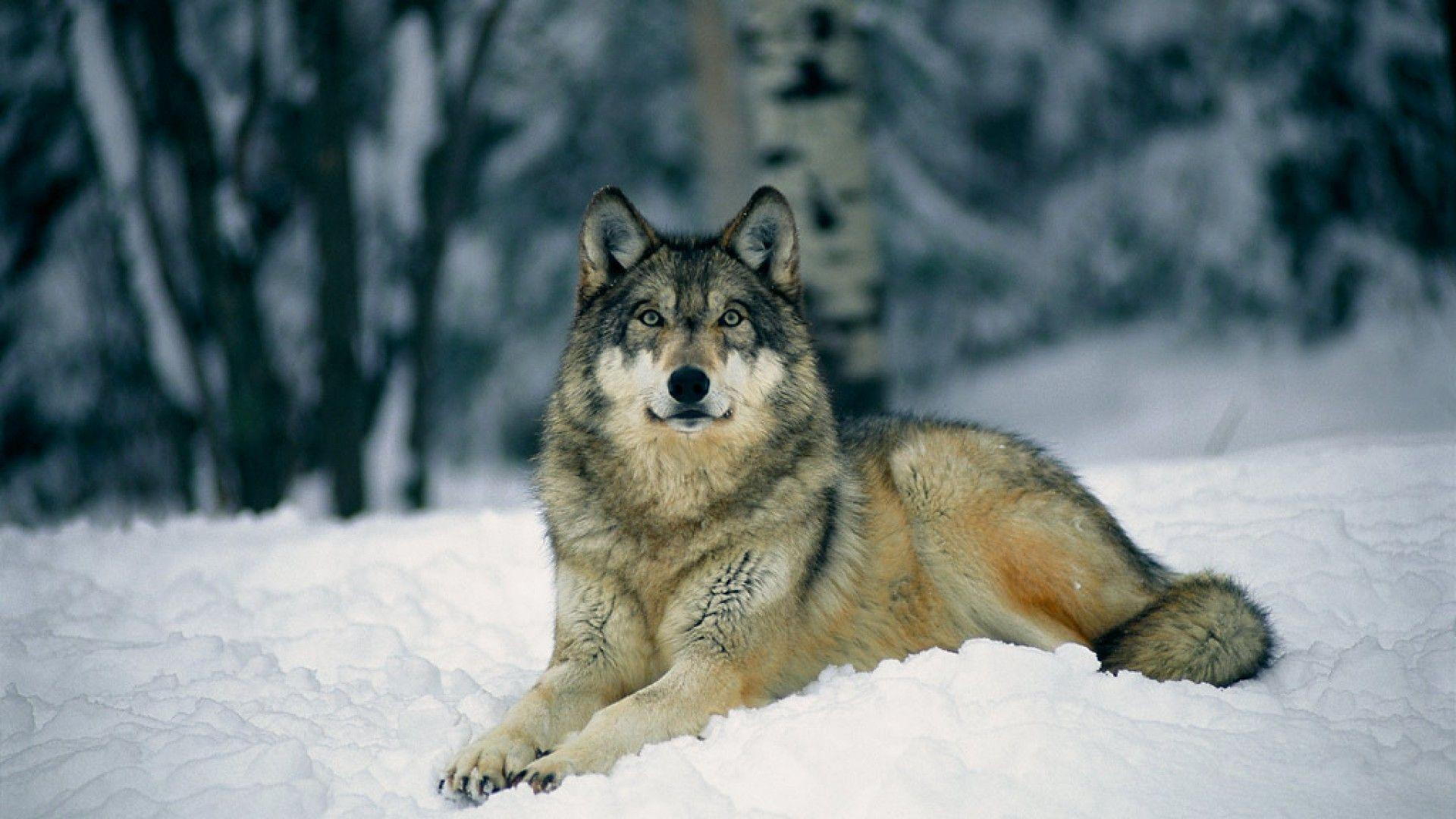 Free-HD-Wolf-wallpaper-wpt7204825
