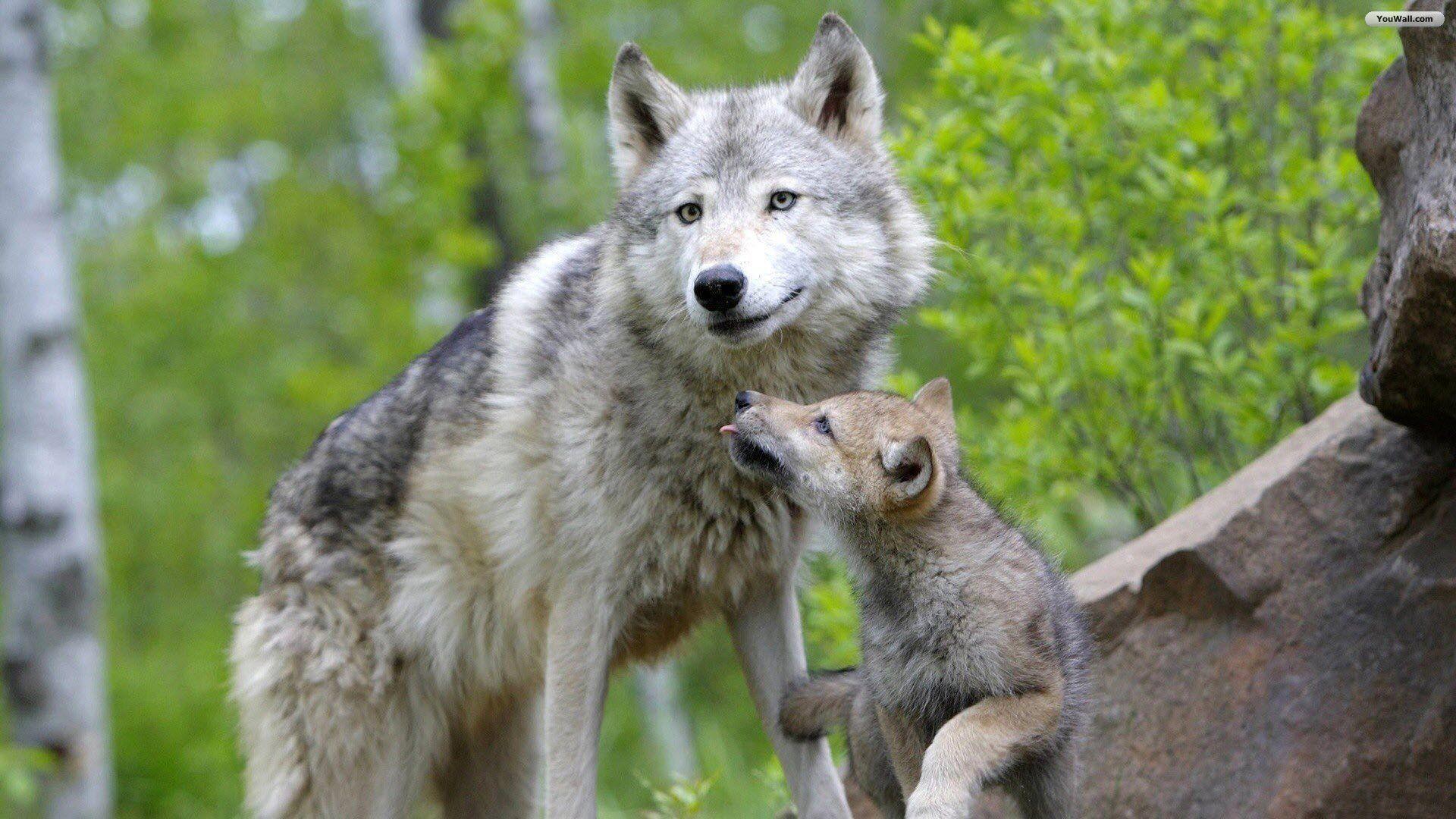 Baby wolf wallpaper – photo#2