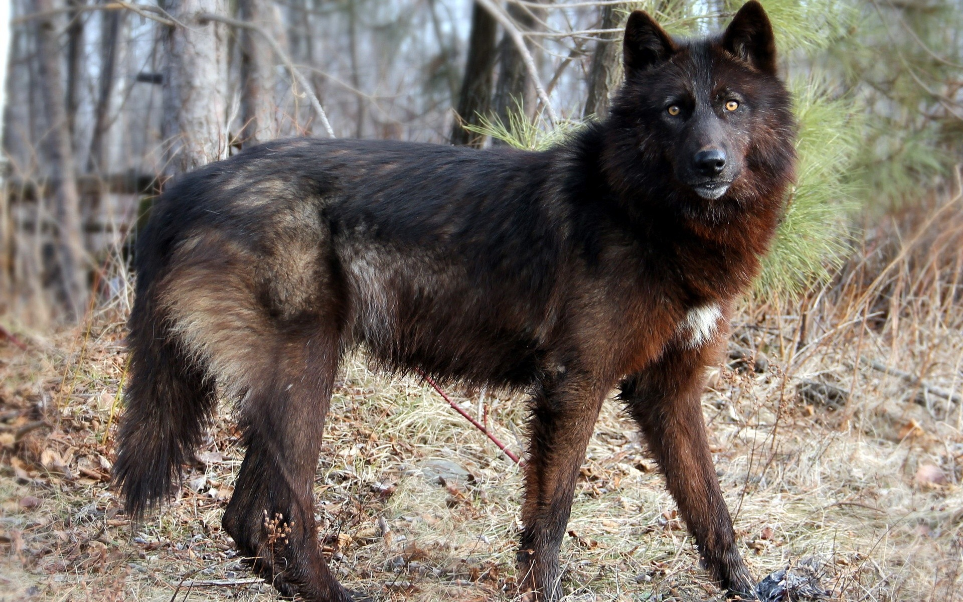 Fantastic black wolf wallpaper – ( – High Quality and .