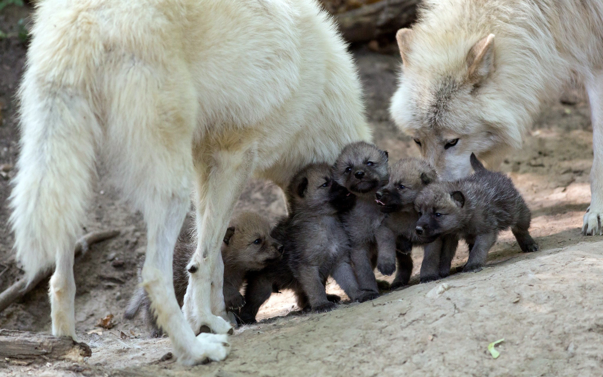 Cutest Family. wolf pictures