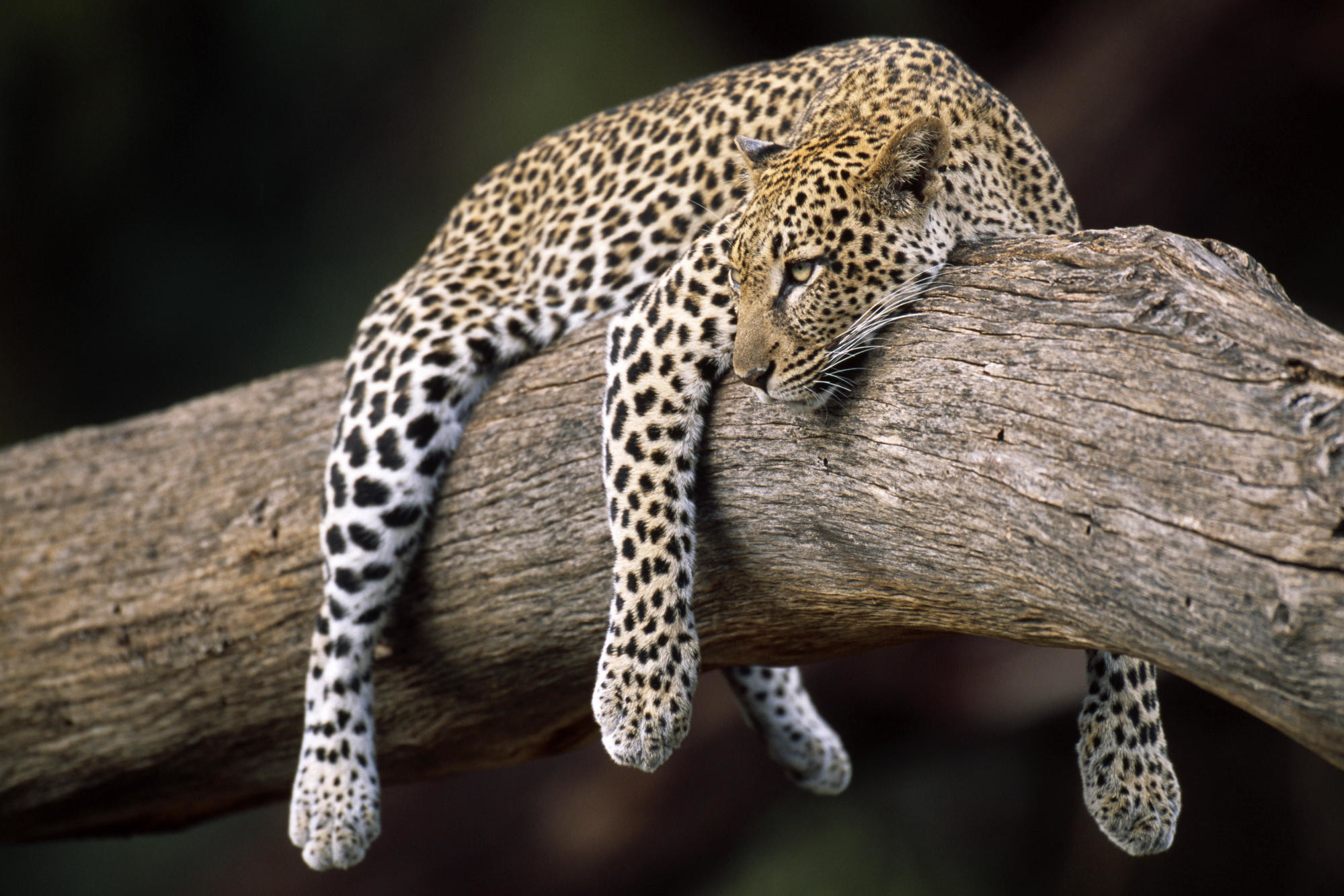 Sleeping Leopard HD Animal Wallpaper