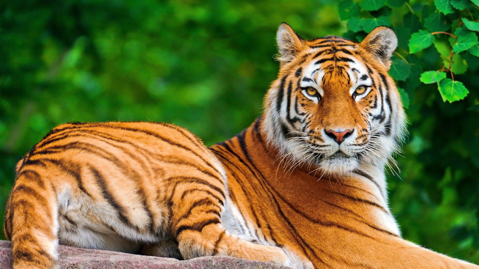 Free tiger animal wallpaper HD.