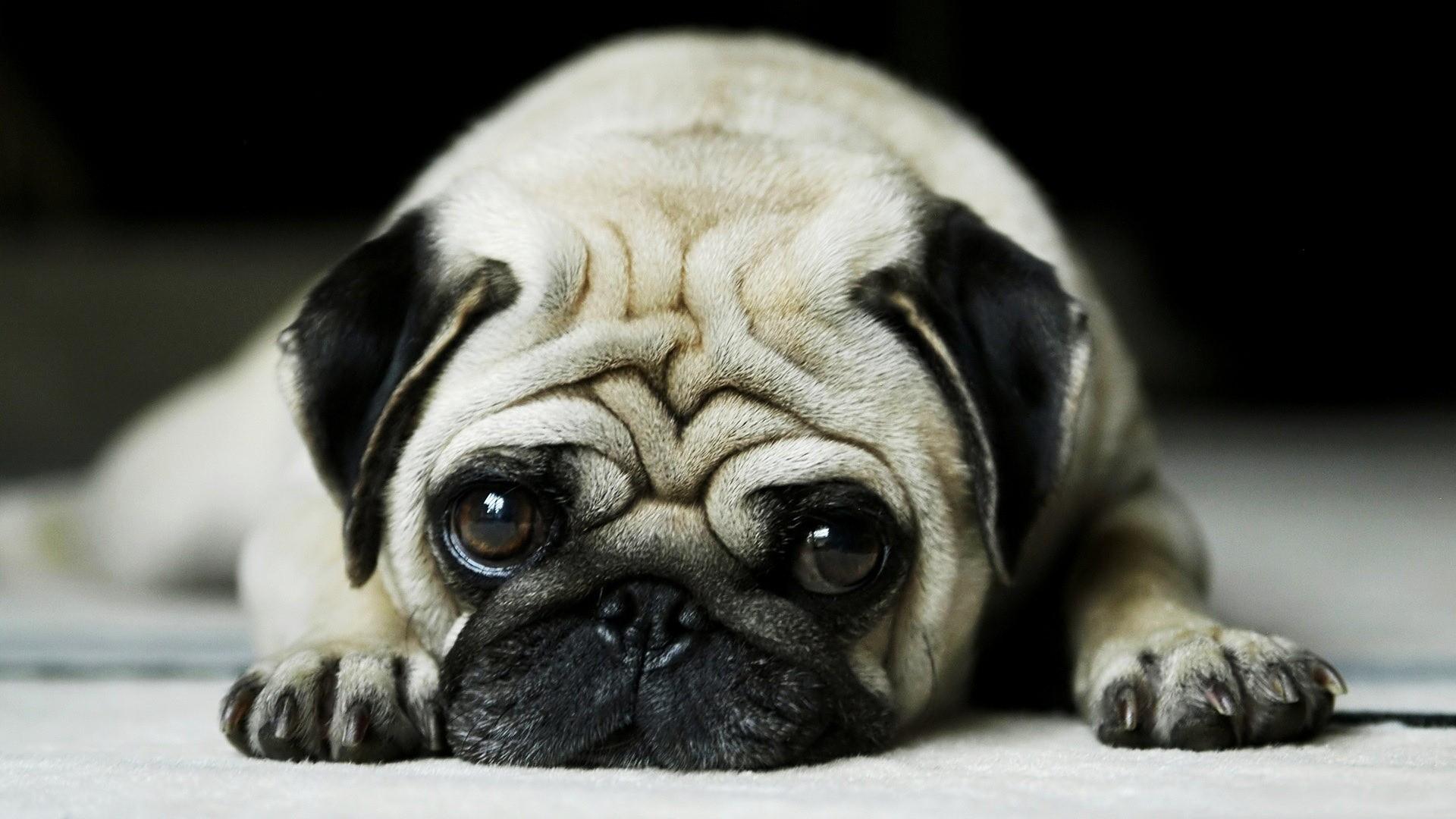 HD Dogs Wallpapers and Photos HD Animals Wallpapers 900×506 Wallpaper Dog  (42 Wallpapers)   Adorable Wallpapers   Desktop   Pinterest   Dog wallpaper,  …