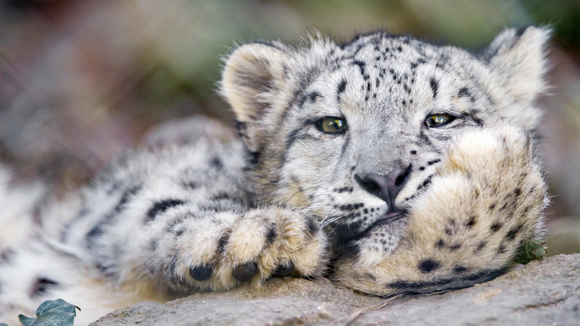 Preview wallpaper snow leopard, big cat, leopard 1920×1080