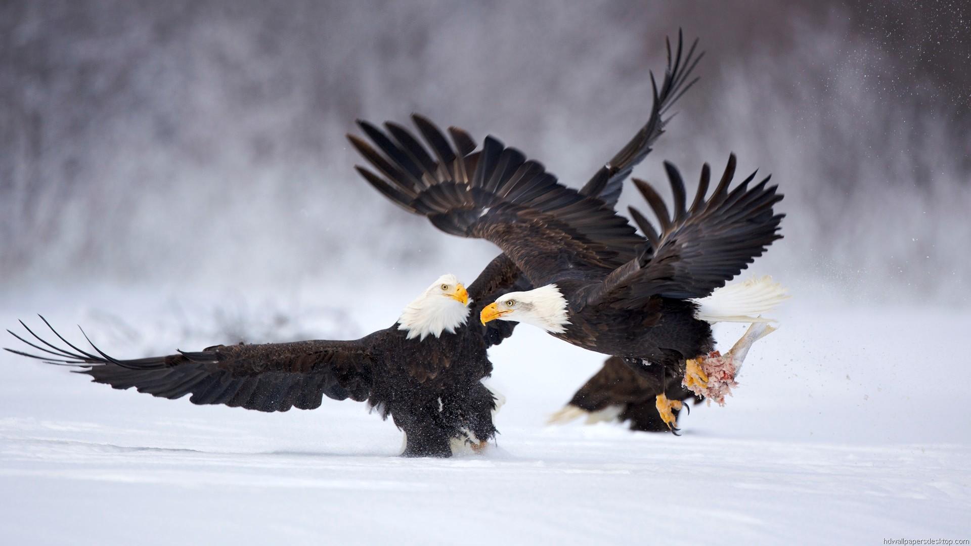 Eagles on Hunt