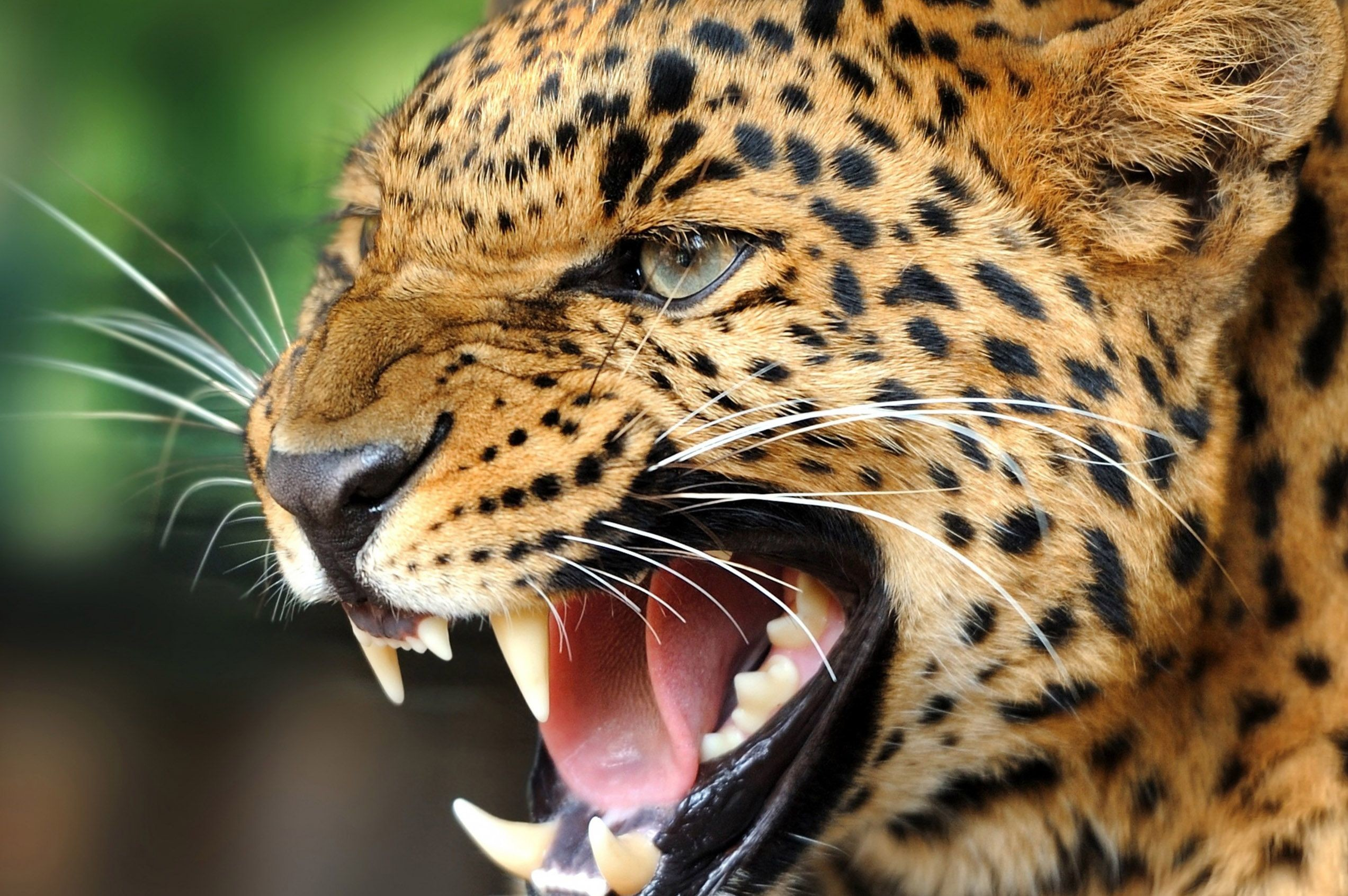 Wild animals hd wallpapers – Hd Wallpapers Of Wild Animals  Download