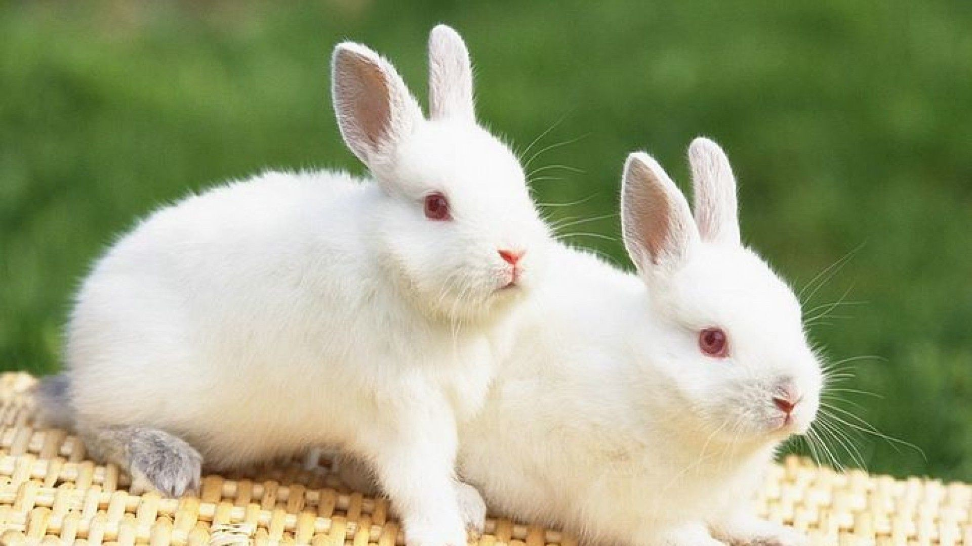 Beautiful and lovely cute rabbits hd animal wallpaper