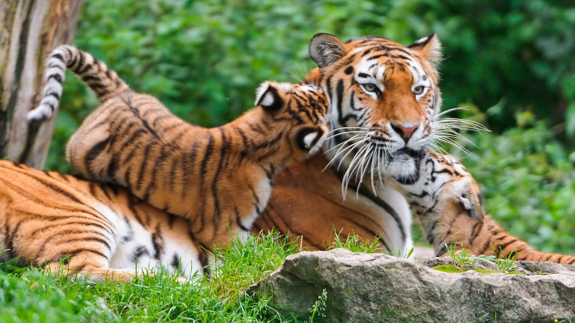 Tiger Family – Nature Animal Wallpaper : Browse and Download the latest  high definition Animal wallpapers ! Check out now our collection, and  choose the …