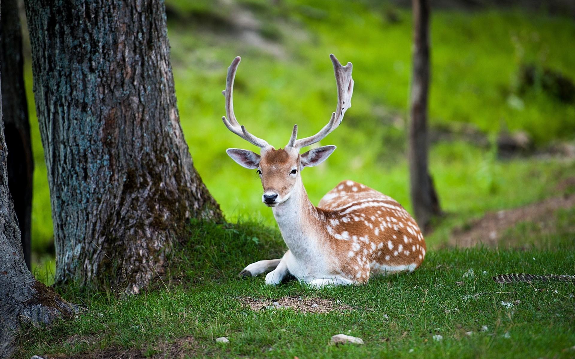 Ultra HD deer nature 1920×1200