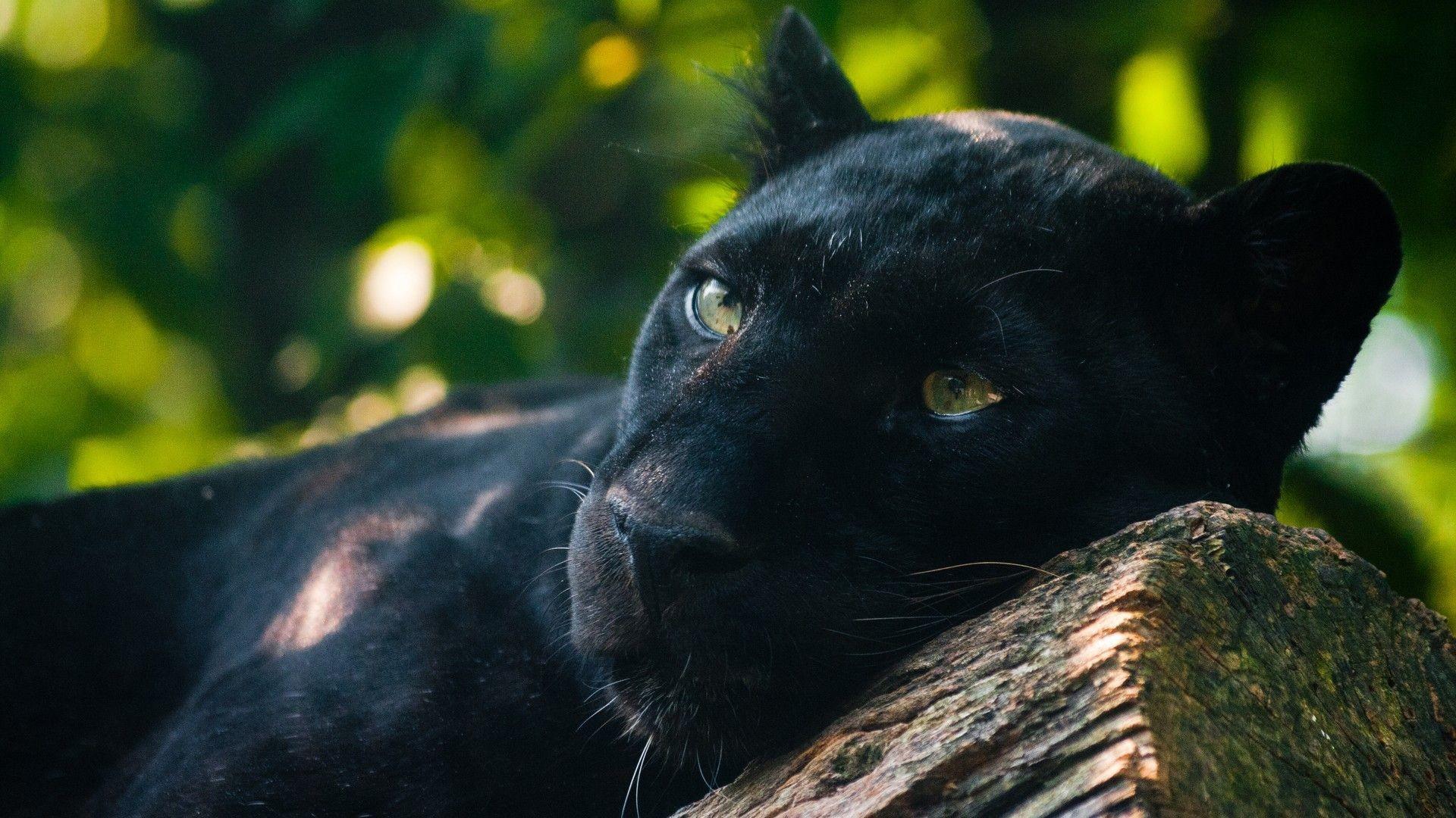 … Wallpaper Nature Animals Panthers. Download