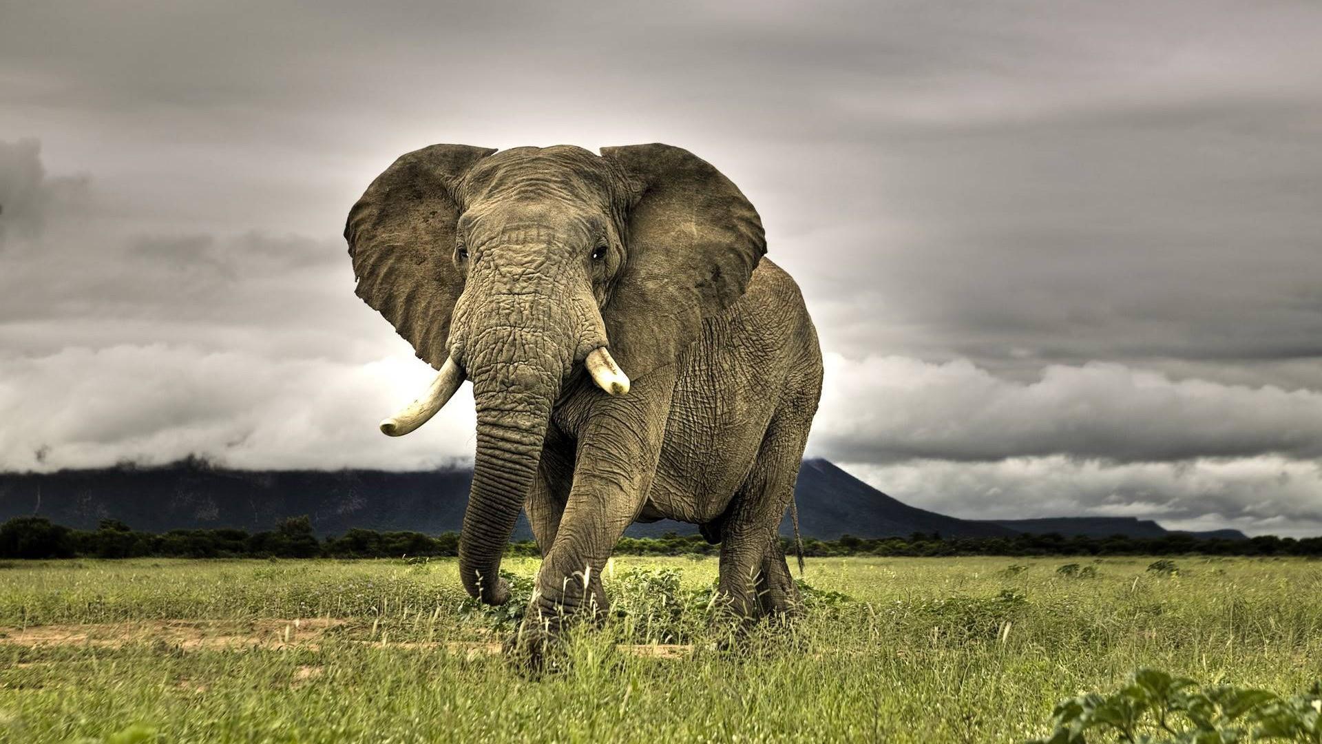 Elephant Wallpaper Elephants Animals Wallpapers