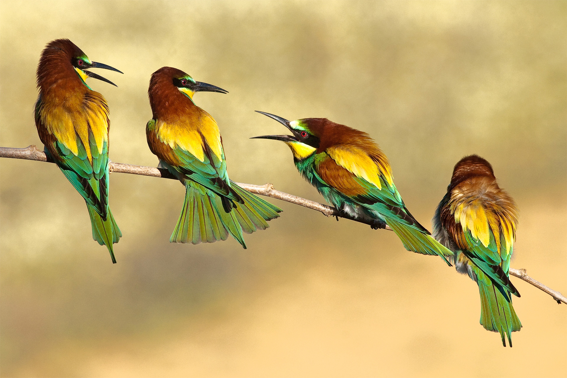 … bee-eaters, birds, branch, animal, photo, beauty nature, picture