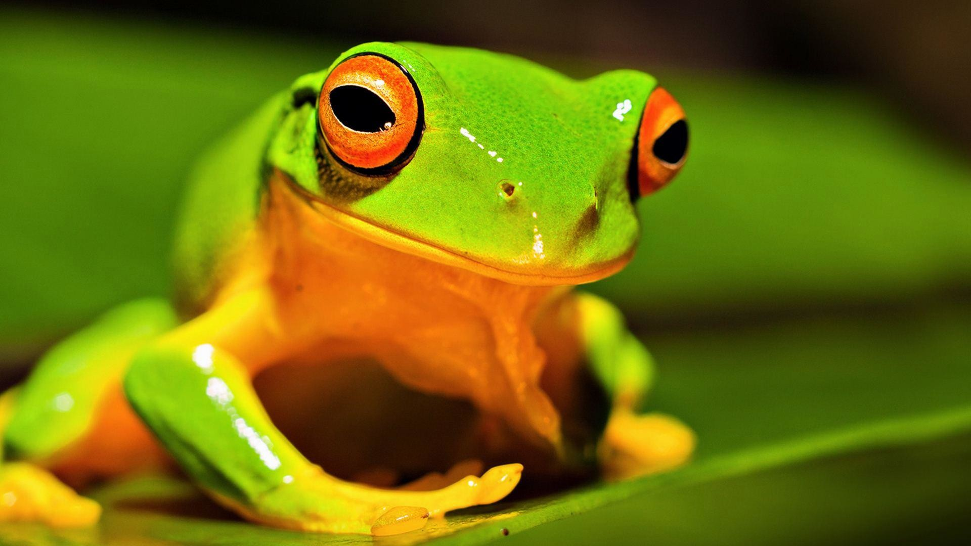 Nature-Animals-Frog-Green-Wallpaper