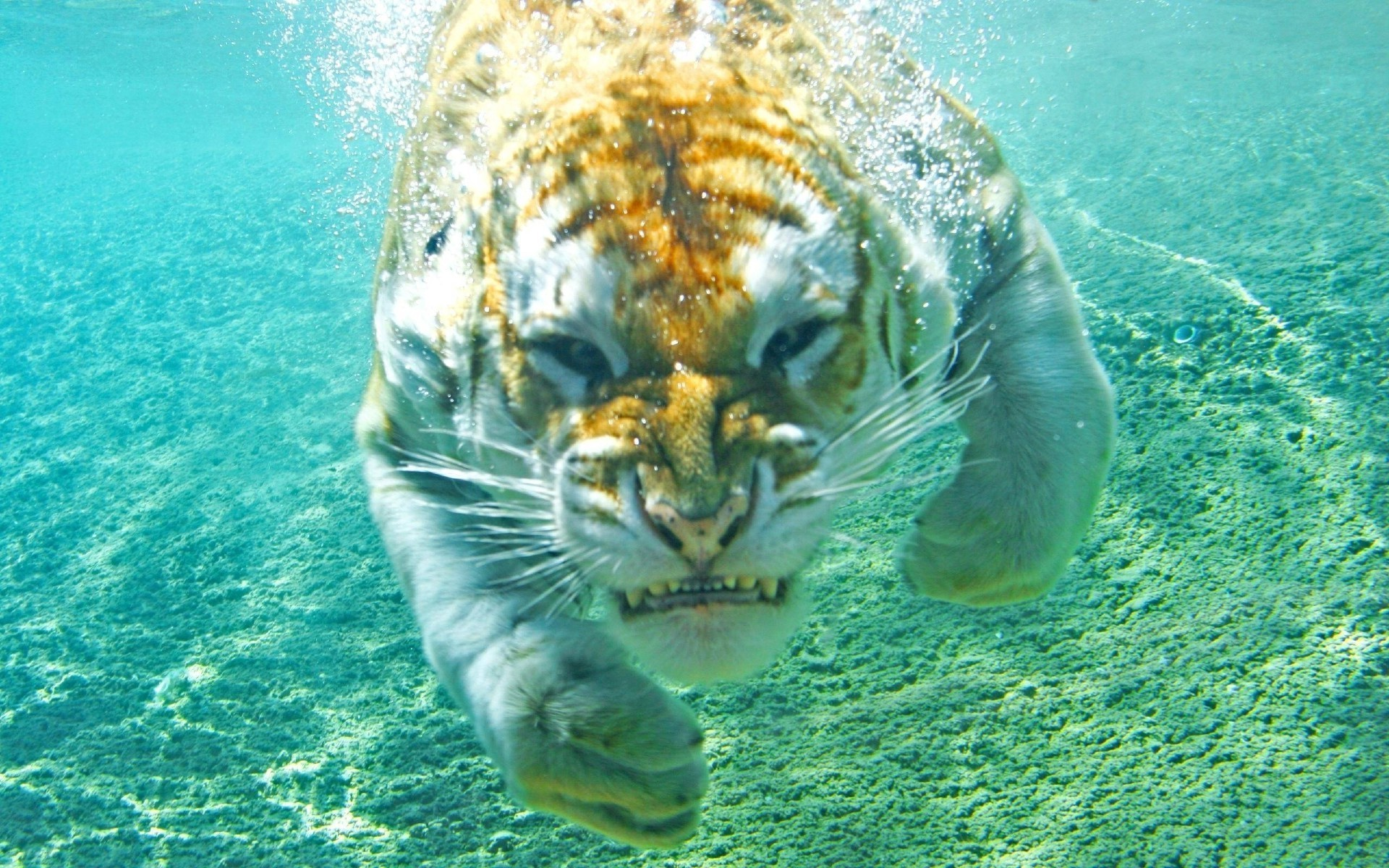 tiger, Animals, Underwater, Nature Wallpapers HD / Desktop and Mobile  Backgrounds