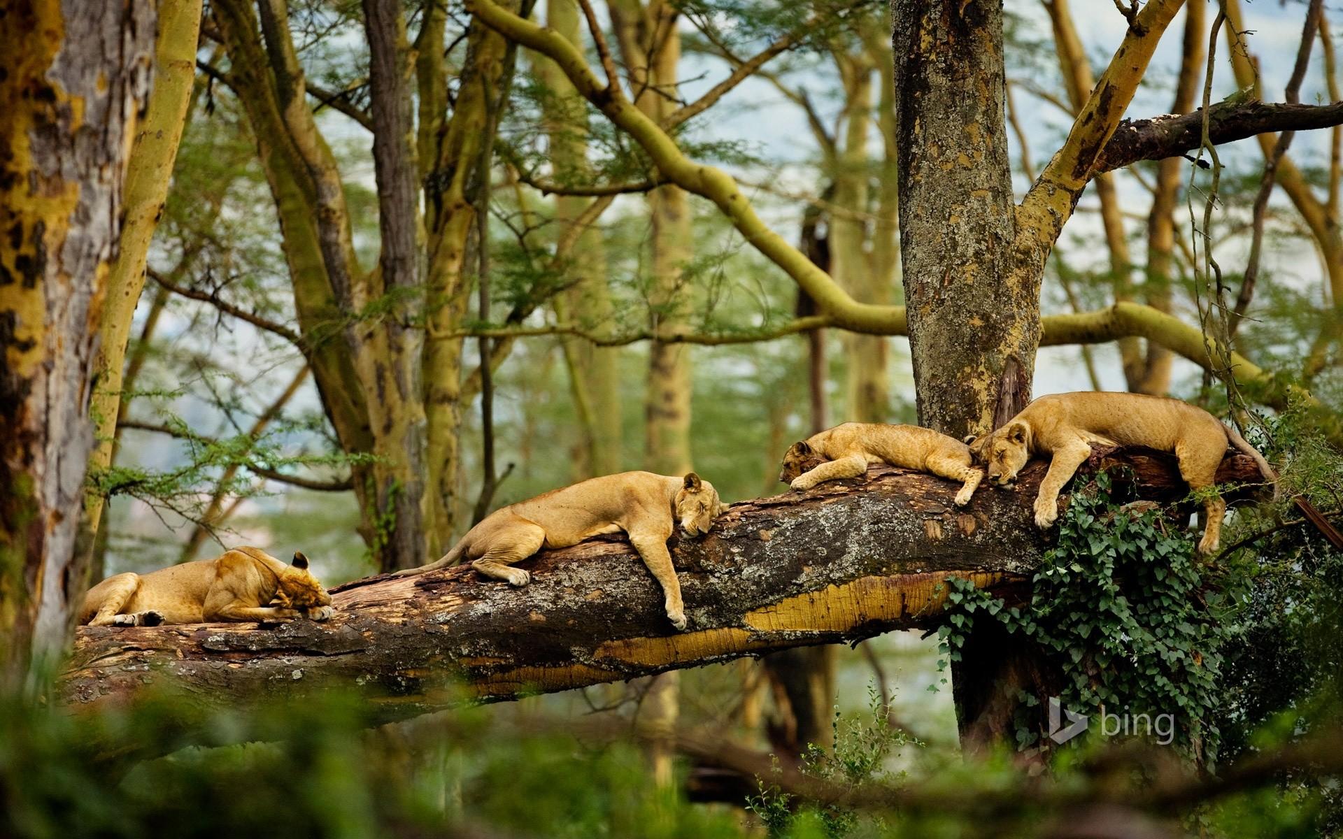 Animal – Lion – Animal – Nature – Fight – Cute – Hd – Ultra HD