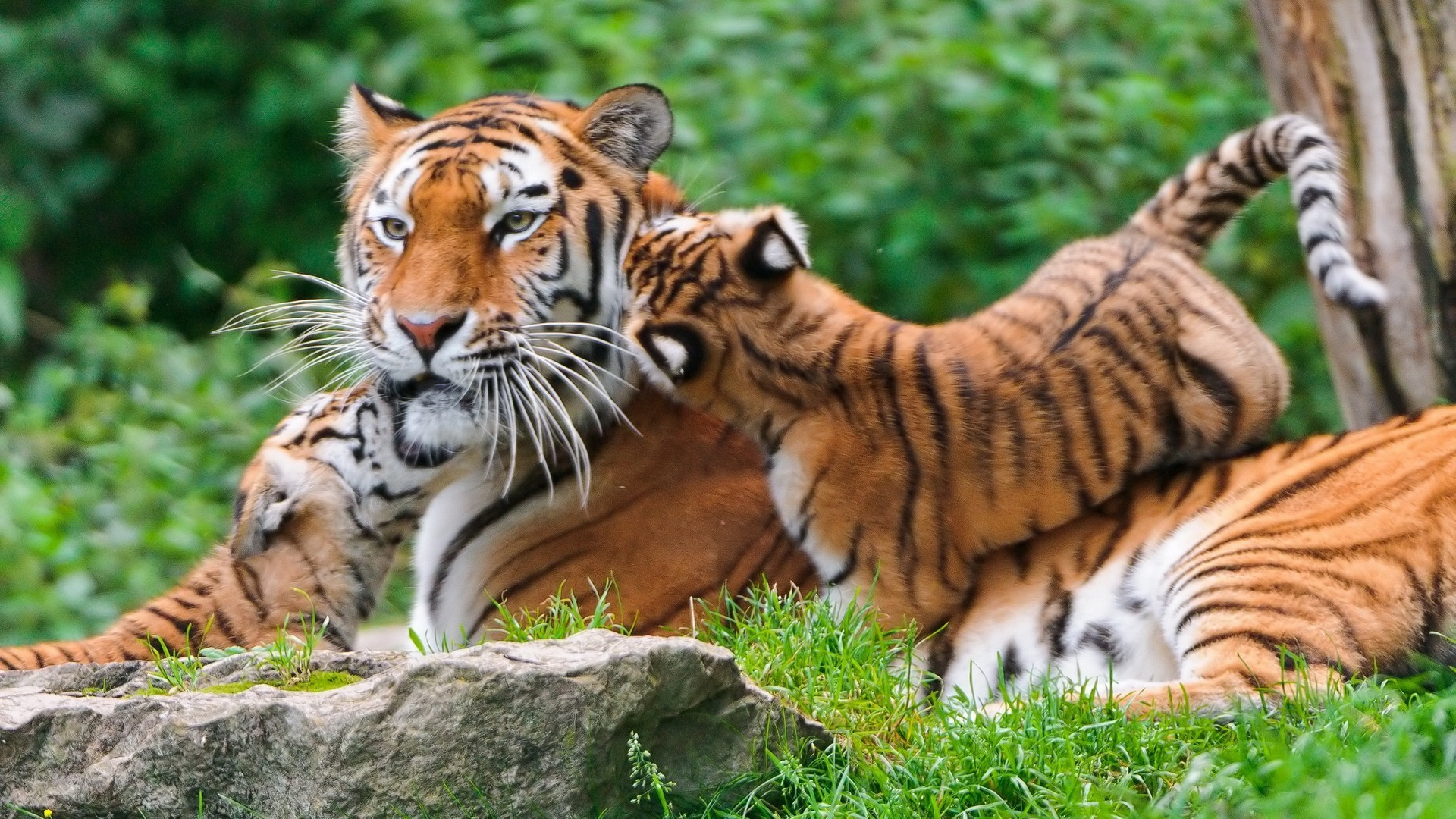 tiger, Animals, Nature, Baby Animals Wallpapers HD / Desktop and Mobile  Backgrounds