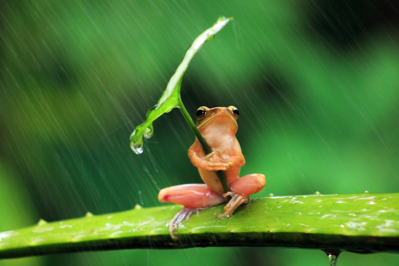 Download Frog Animals Nature Rain Leaves Shields Humor Amphibian Wallpaper  Hd