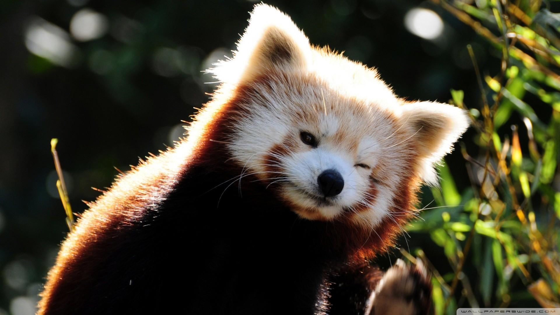 Red Panda wallpaper – 820646