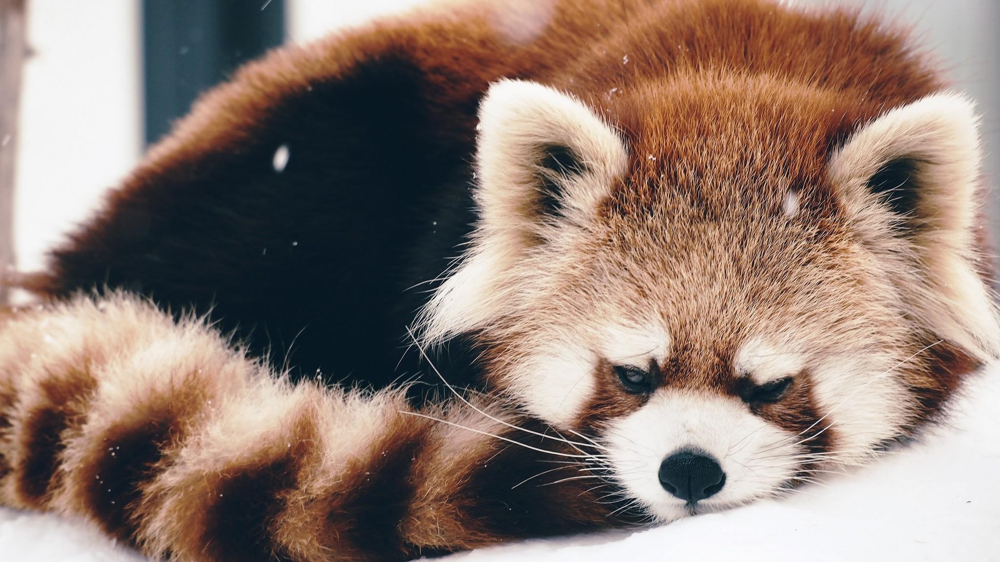 Preview wallpaper red panda, panda, fluffy, lie 2048×1152