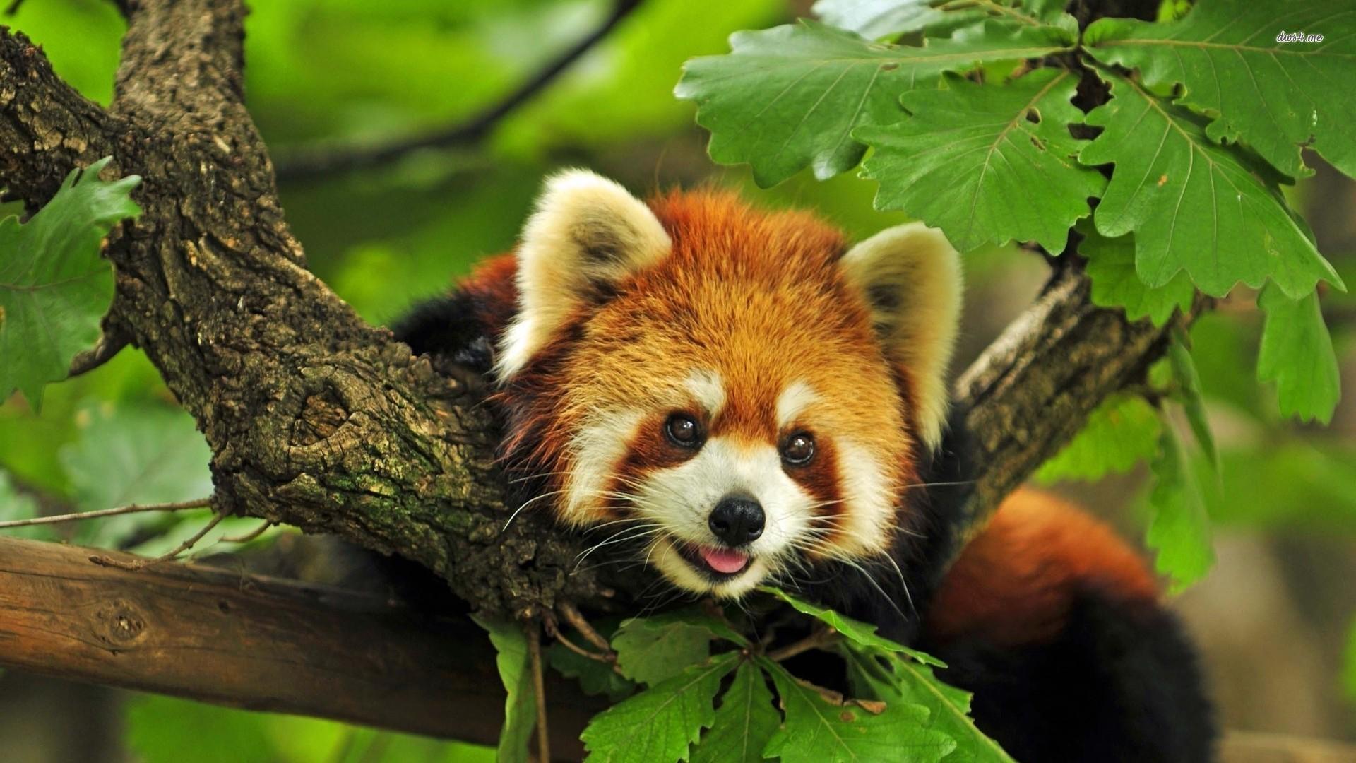 Red Panda HD Wide Wallpaper for Widescreen (67 Wallpapers) – HD Wallpapers