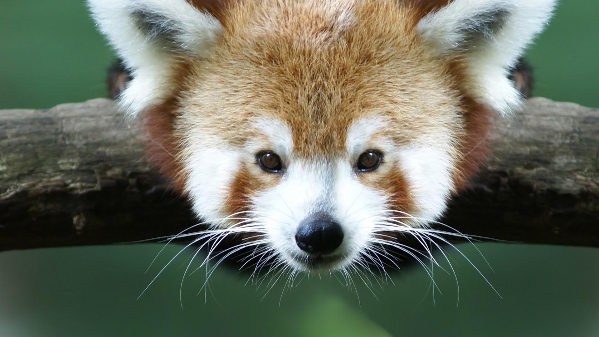Wallpaper red panda, branch, animal, panda