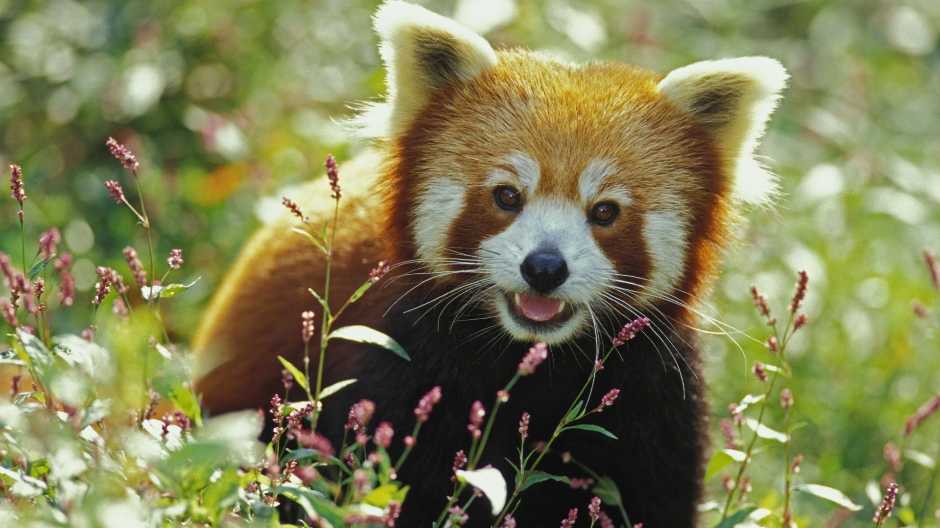 Red Panda Digital Wallpapers