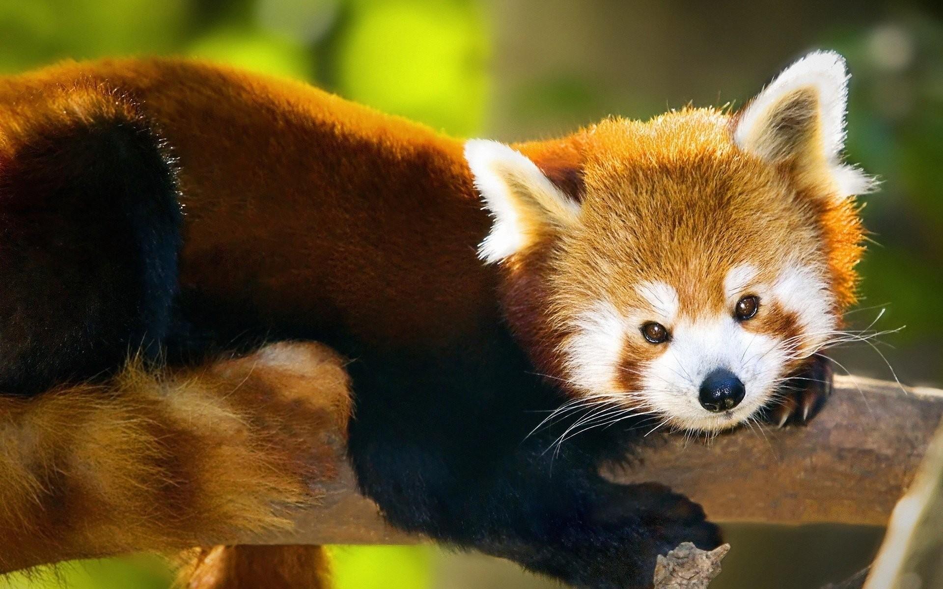 HD Wallpaper   Background ID:356823. Animal Red Panda