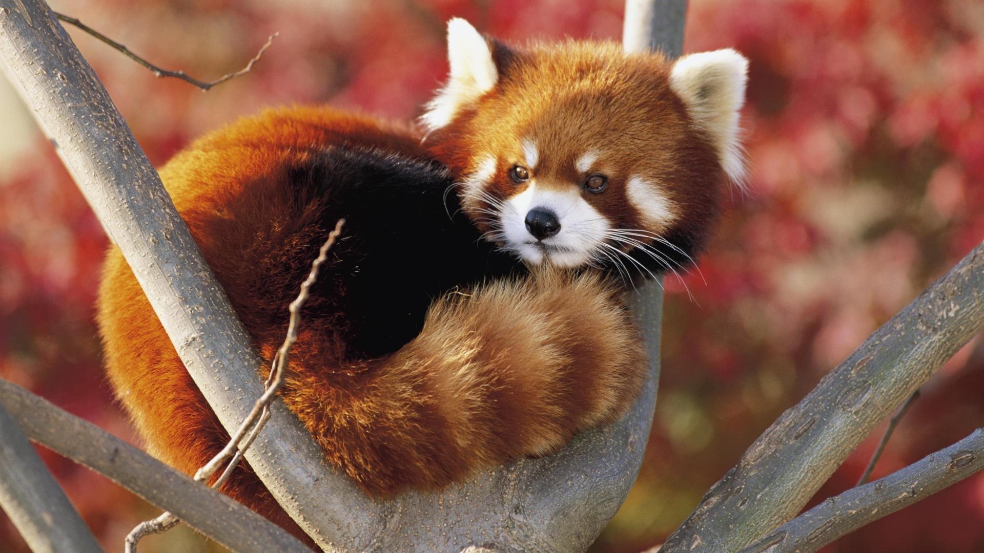 Red Panda Beautiful Animal Wallpapers