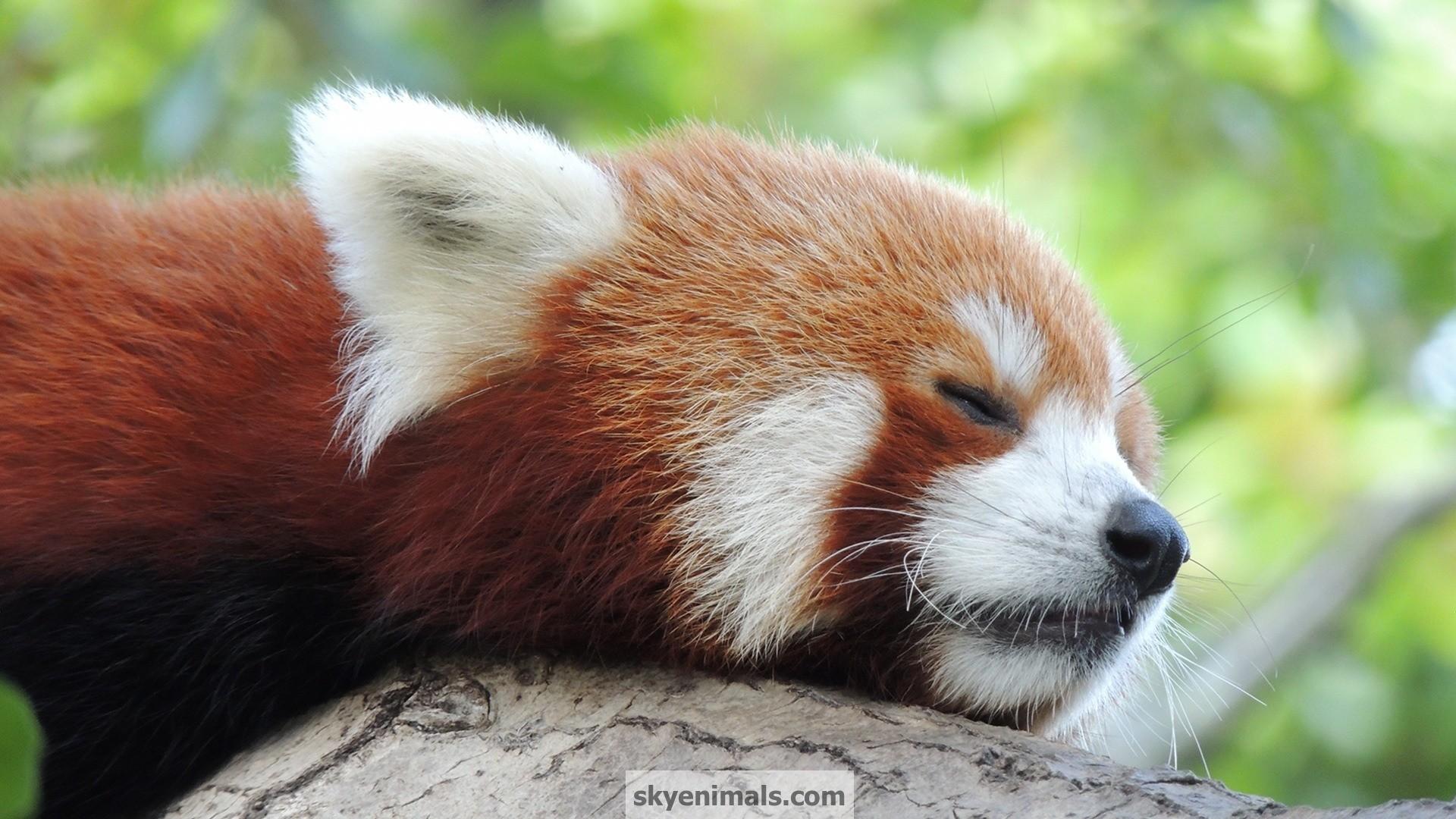 Free Red Panda Wallpaper Images