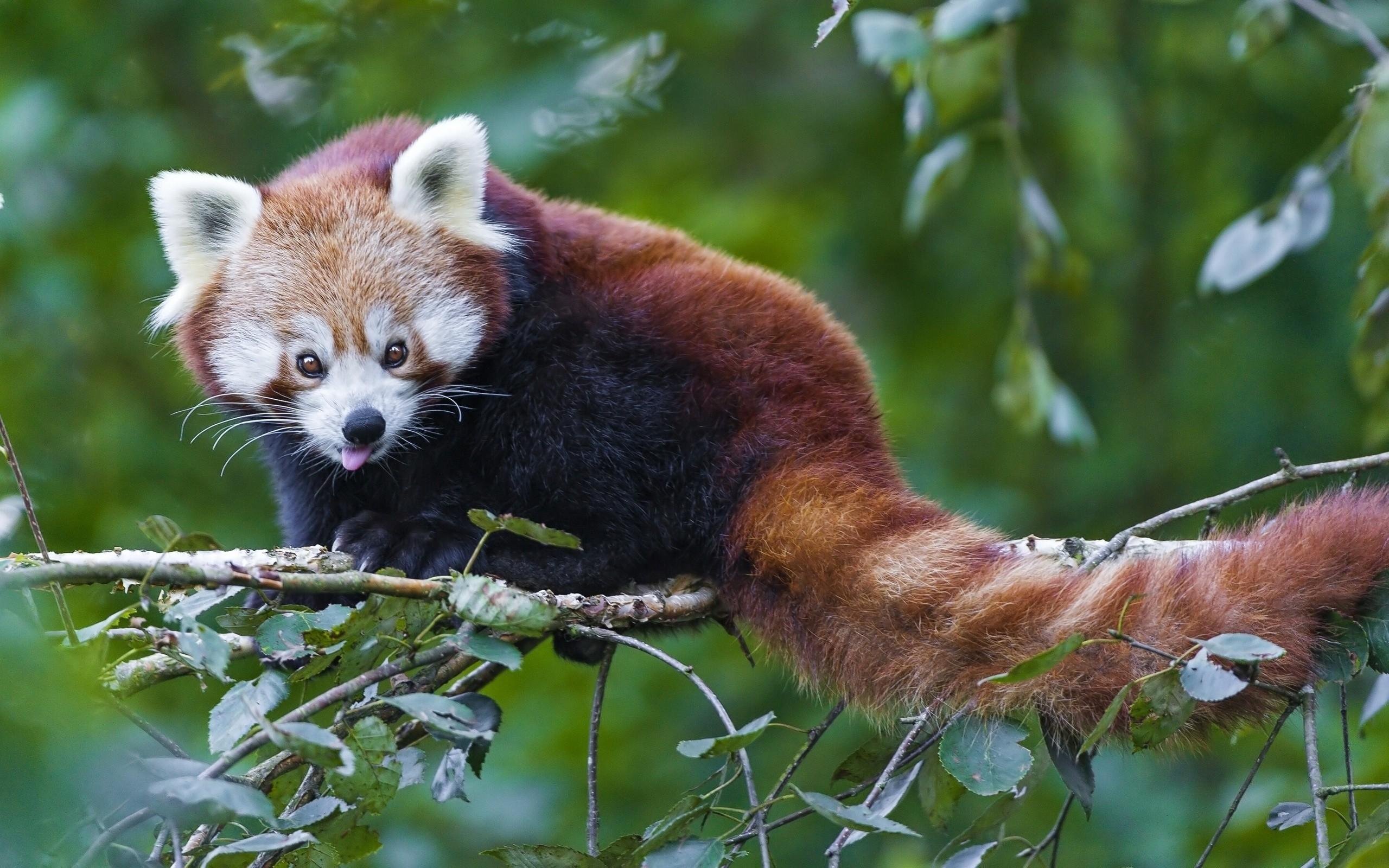 … Goofy red panda