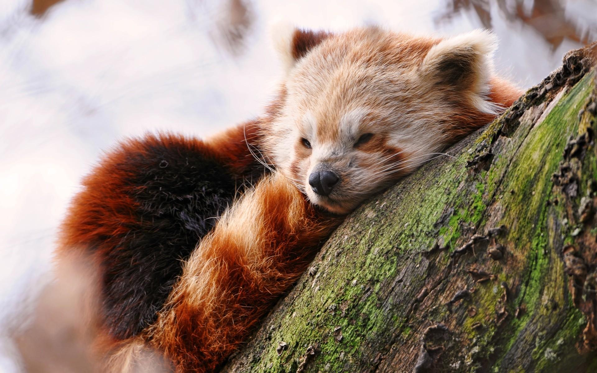 A Cute Red Panda Sleeping Wallpaper 1920x1200px