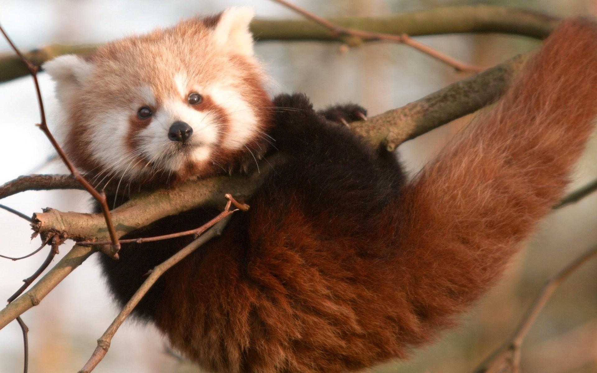 red panda wallpapers hd. Â«Â«
