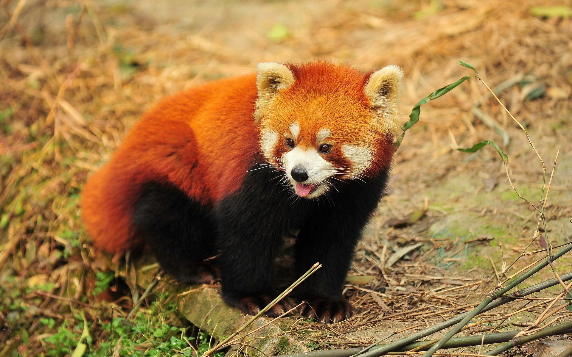 HD Wallpaper   Background ID:405179. Animal Red Panda