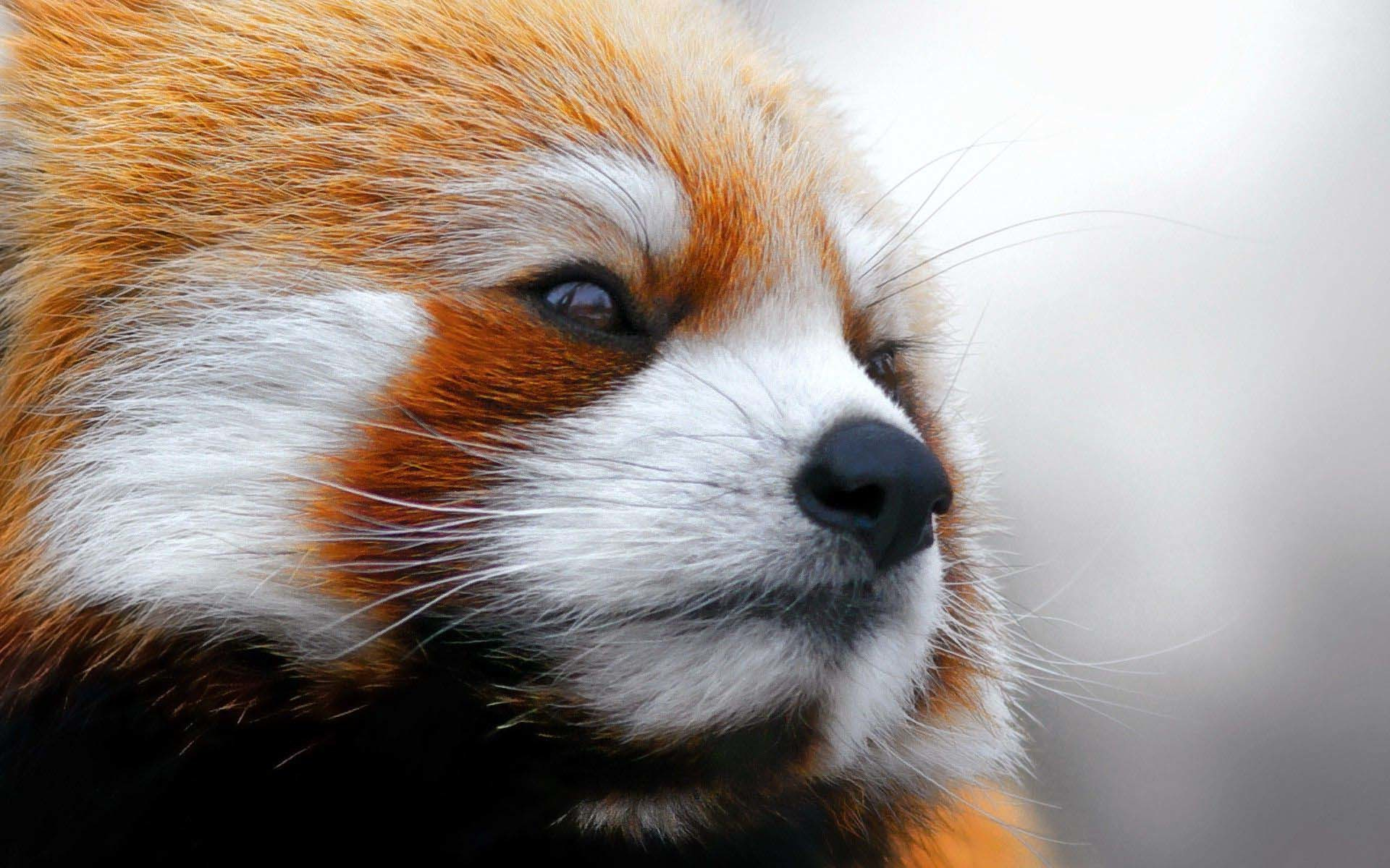 Red Panda Monday is back