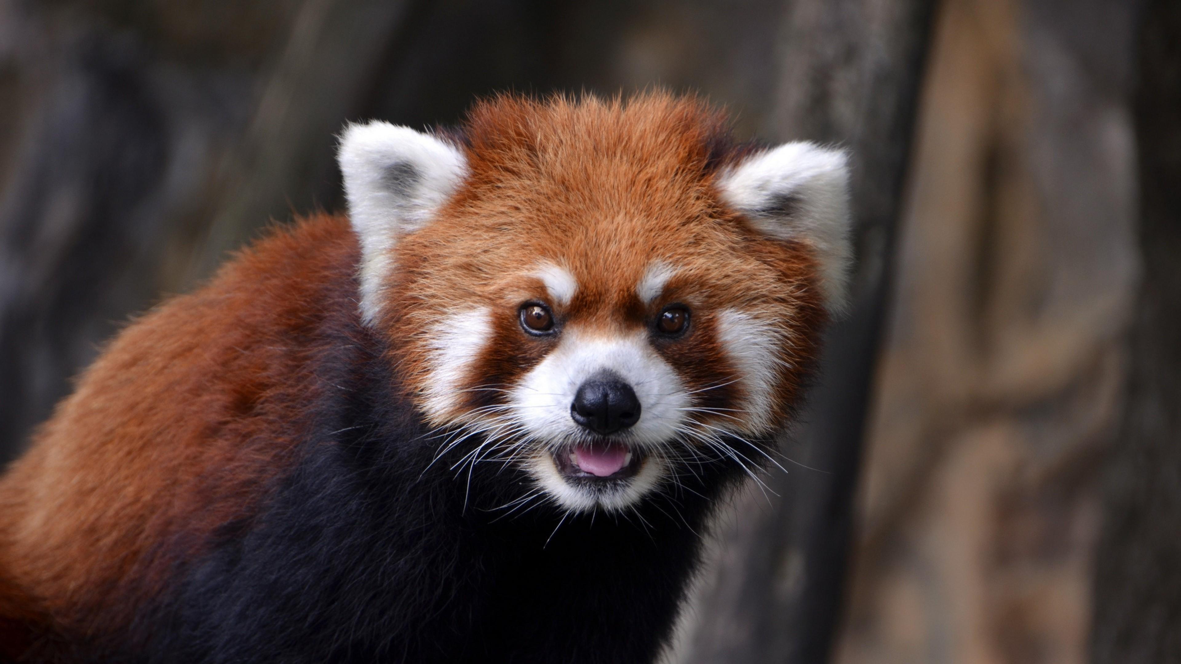 Preview wallpaper red panda, look, animal 3840×2160
