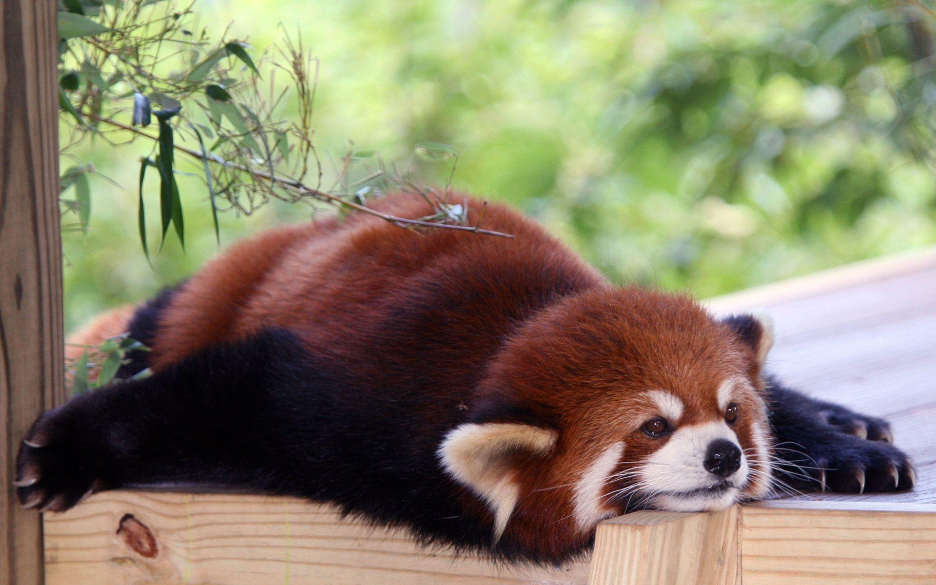 Red Panda Wallpapers – Full HD wallpaper search