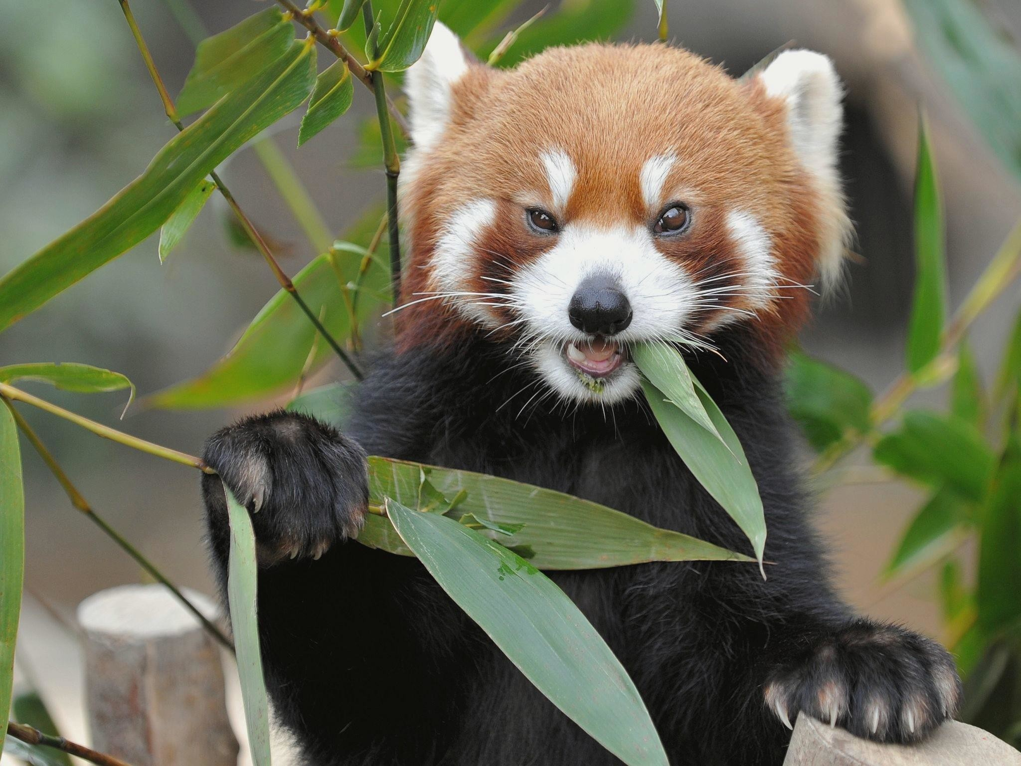 Red Panda hd