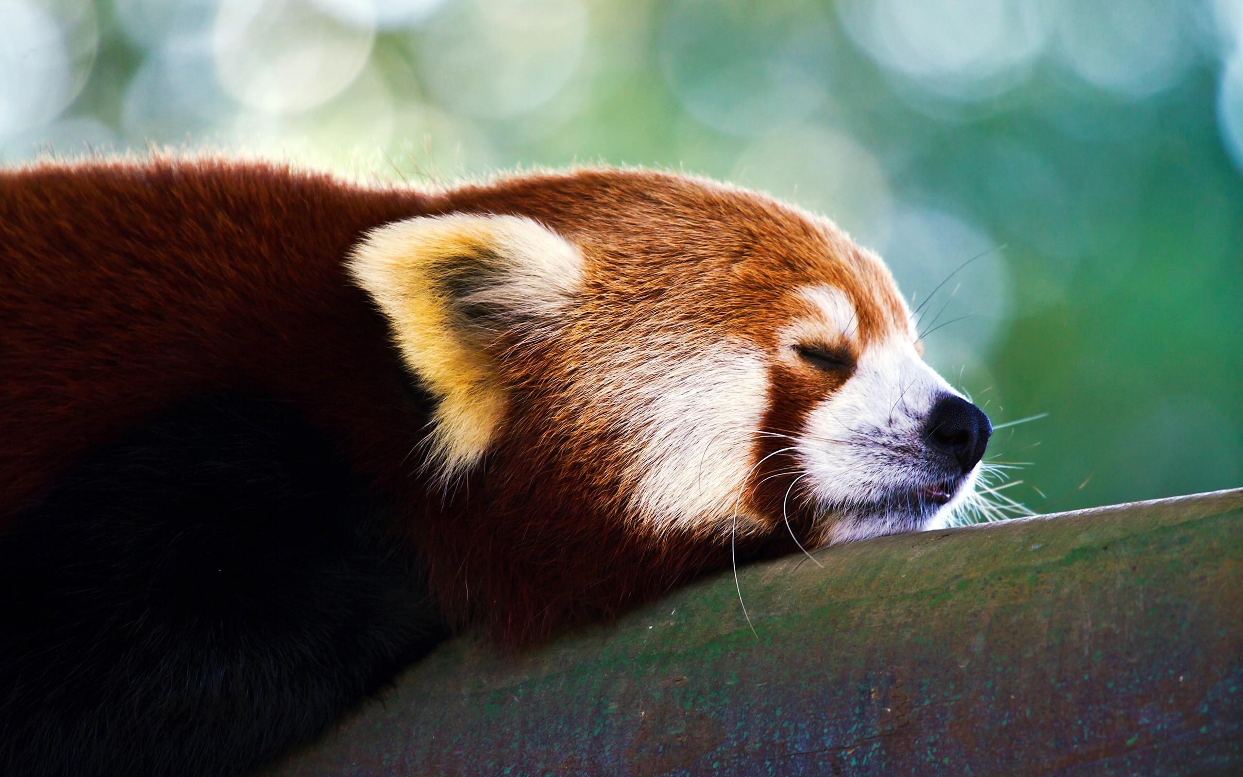 red panda wallpaper hd. Â«Â«