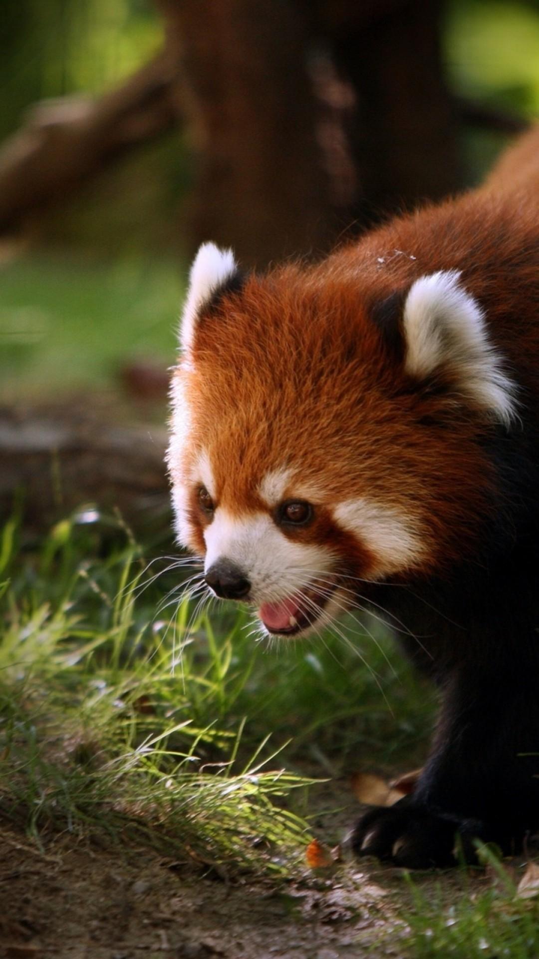 Wallpaper red panda, walk, face, hair