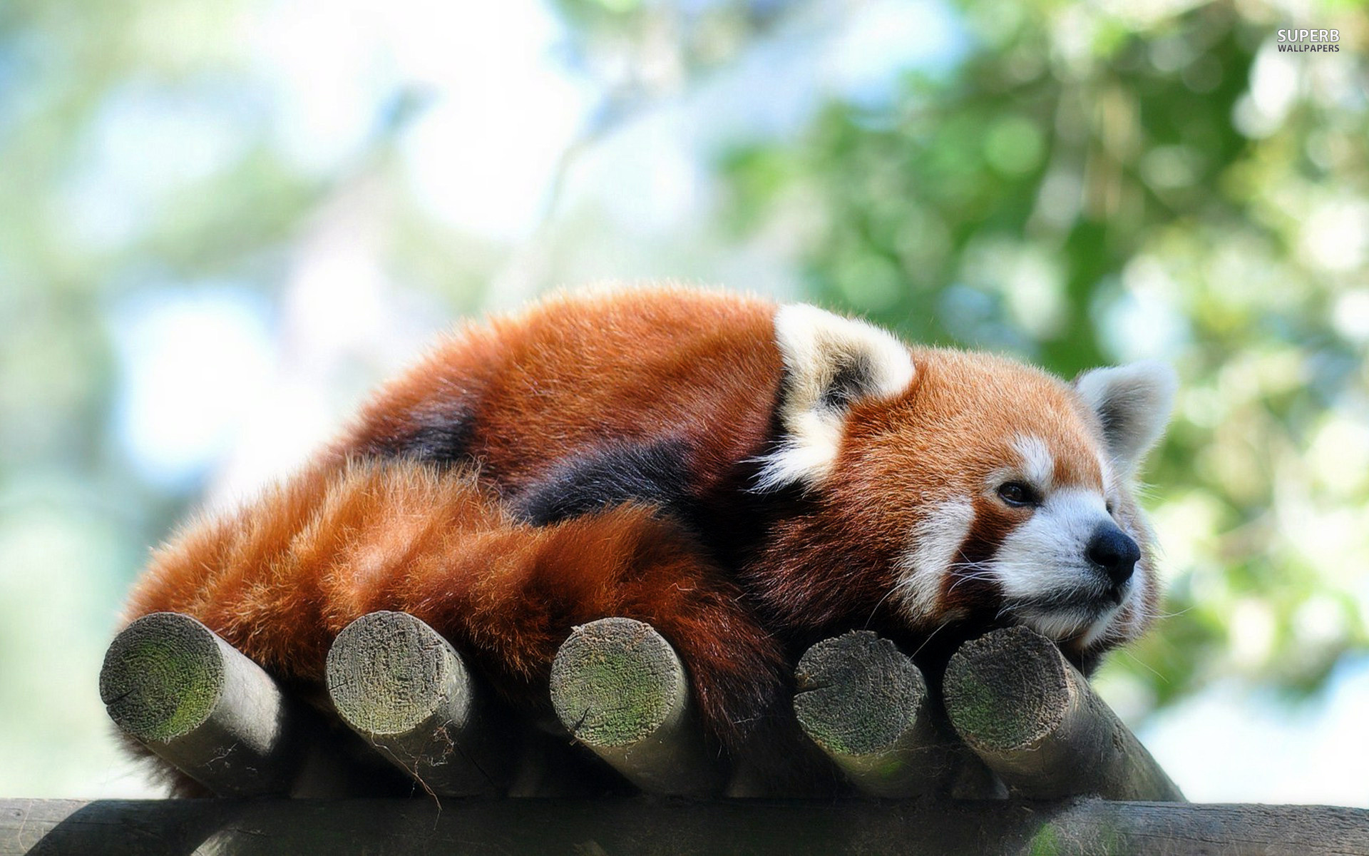 Newborn Red Pandas