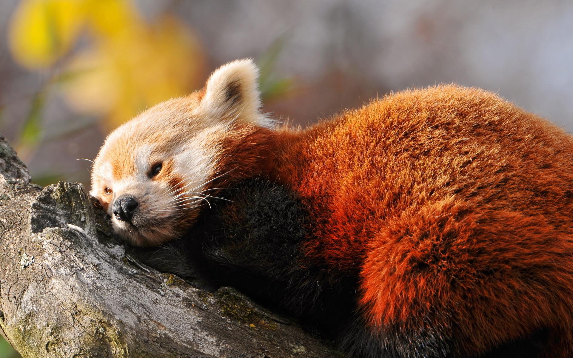 Animal – Red Panda Wallpaper