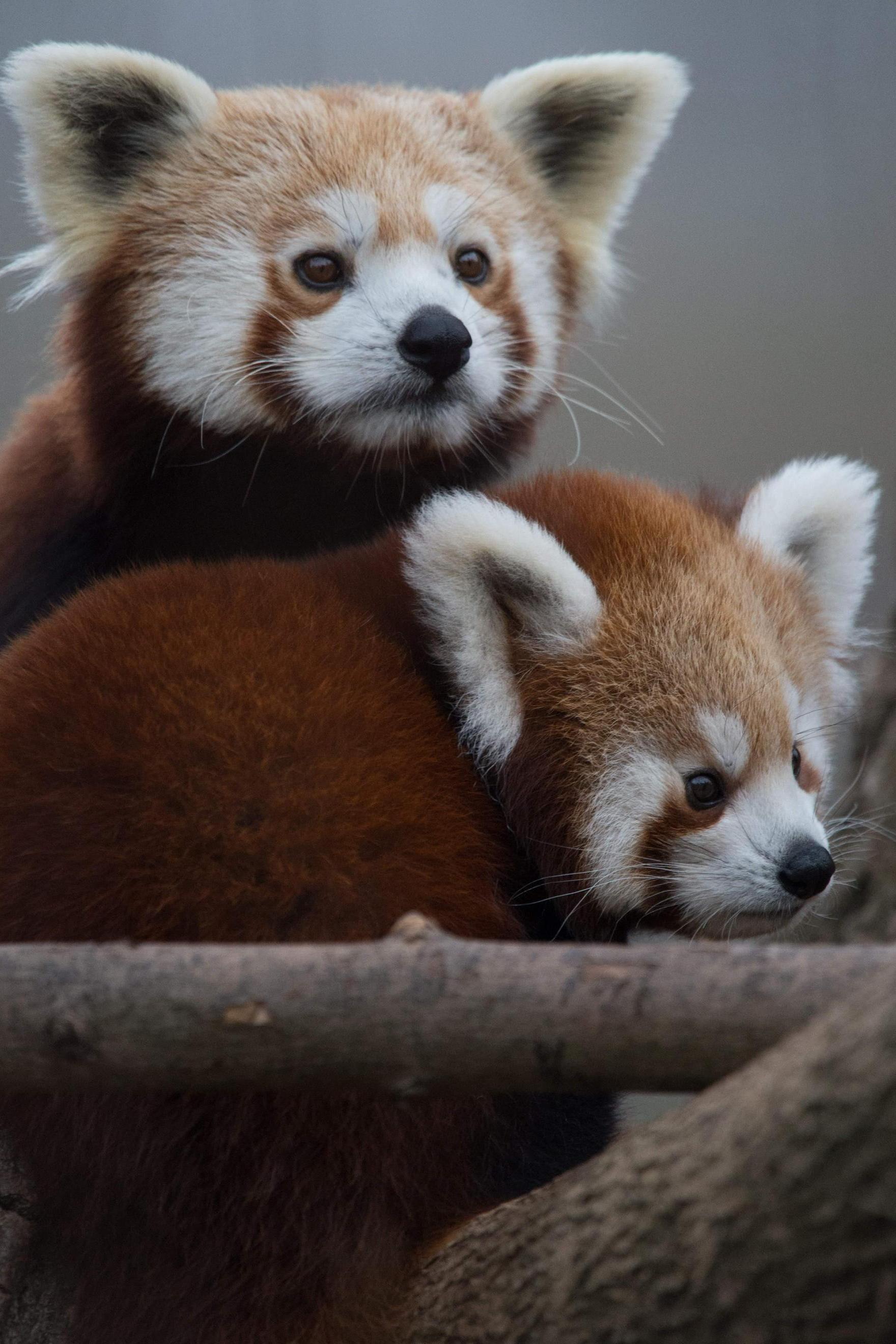 red panda cute animals iphone7 retina