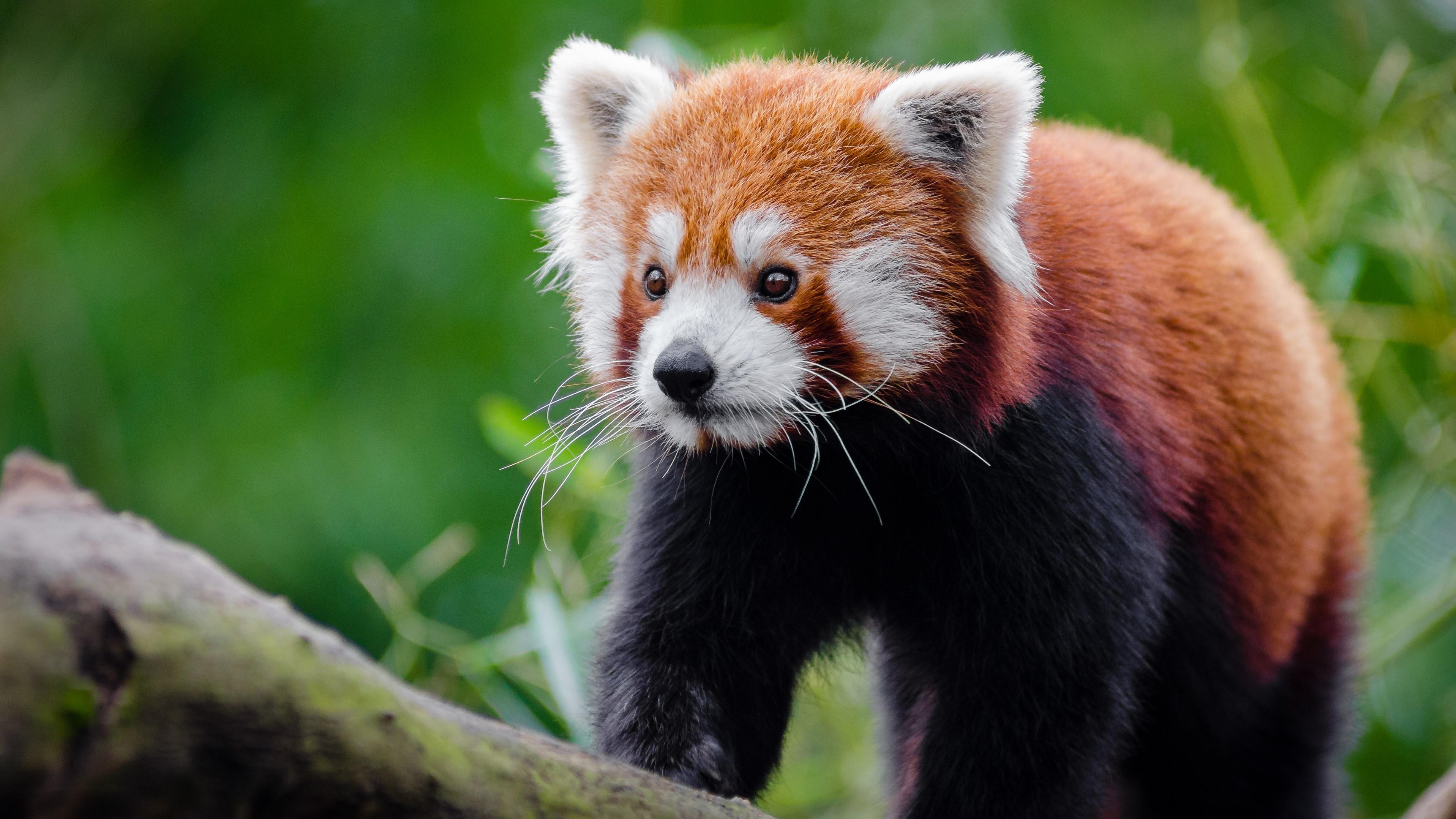 Title. Kitten-like face Red Panda