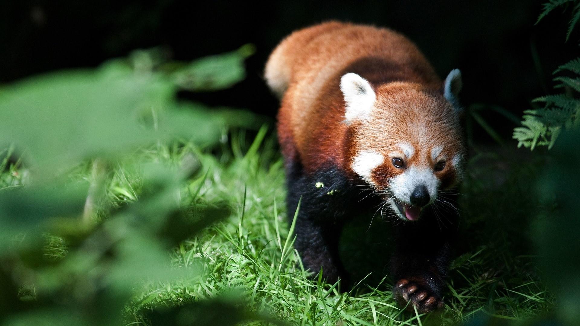 Download Wallpaper Red panda, Grass, Blurring .