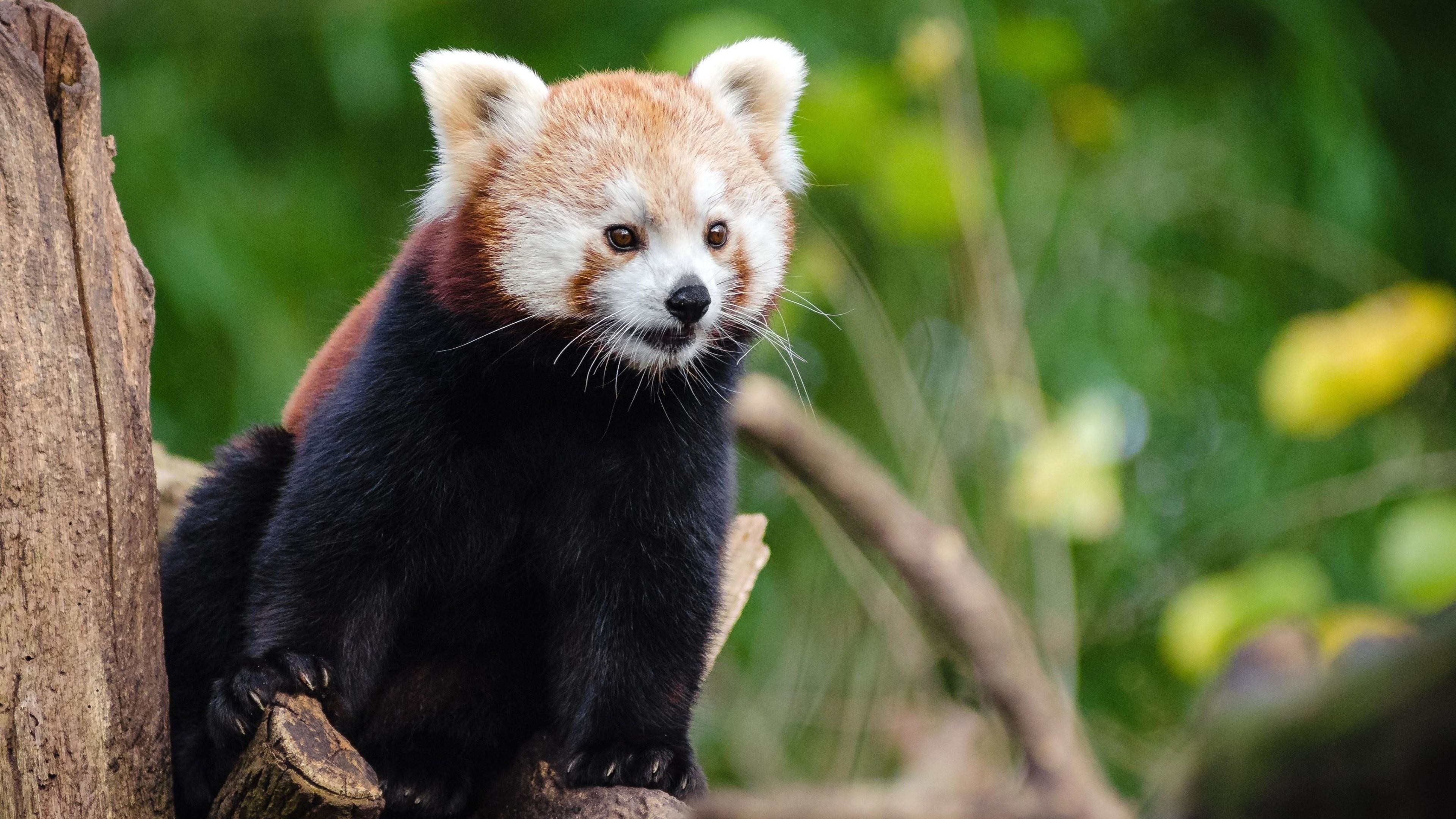 Title. Red panda …